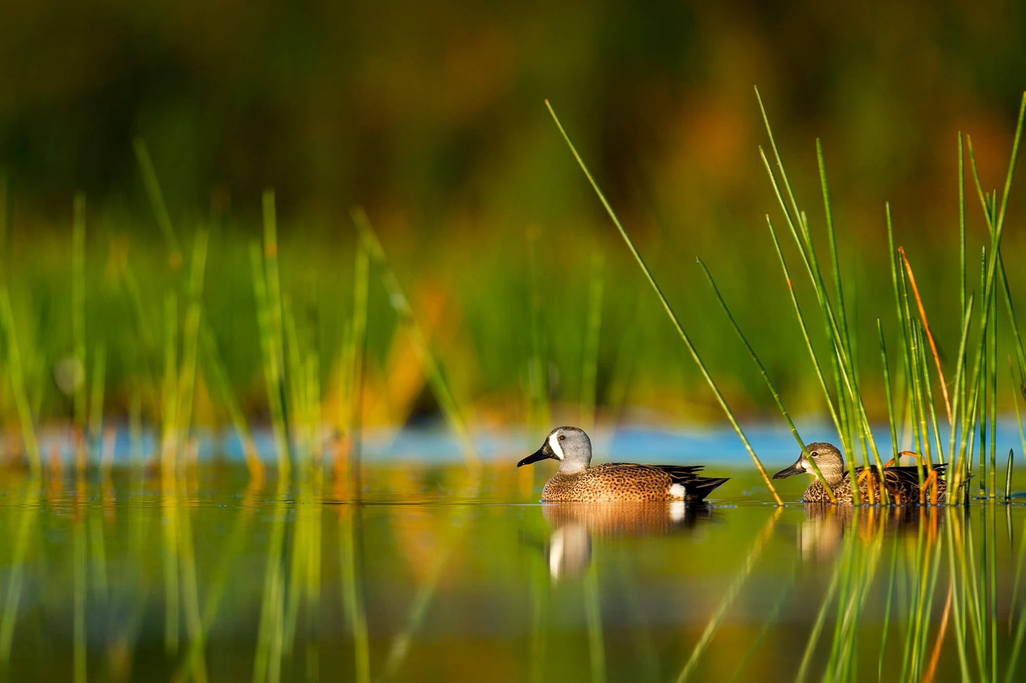 картинки озеро и камыши с утками важным