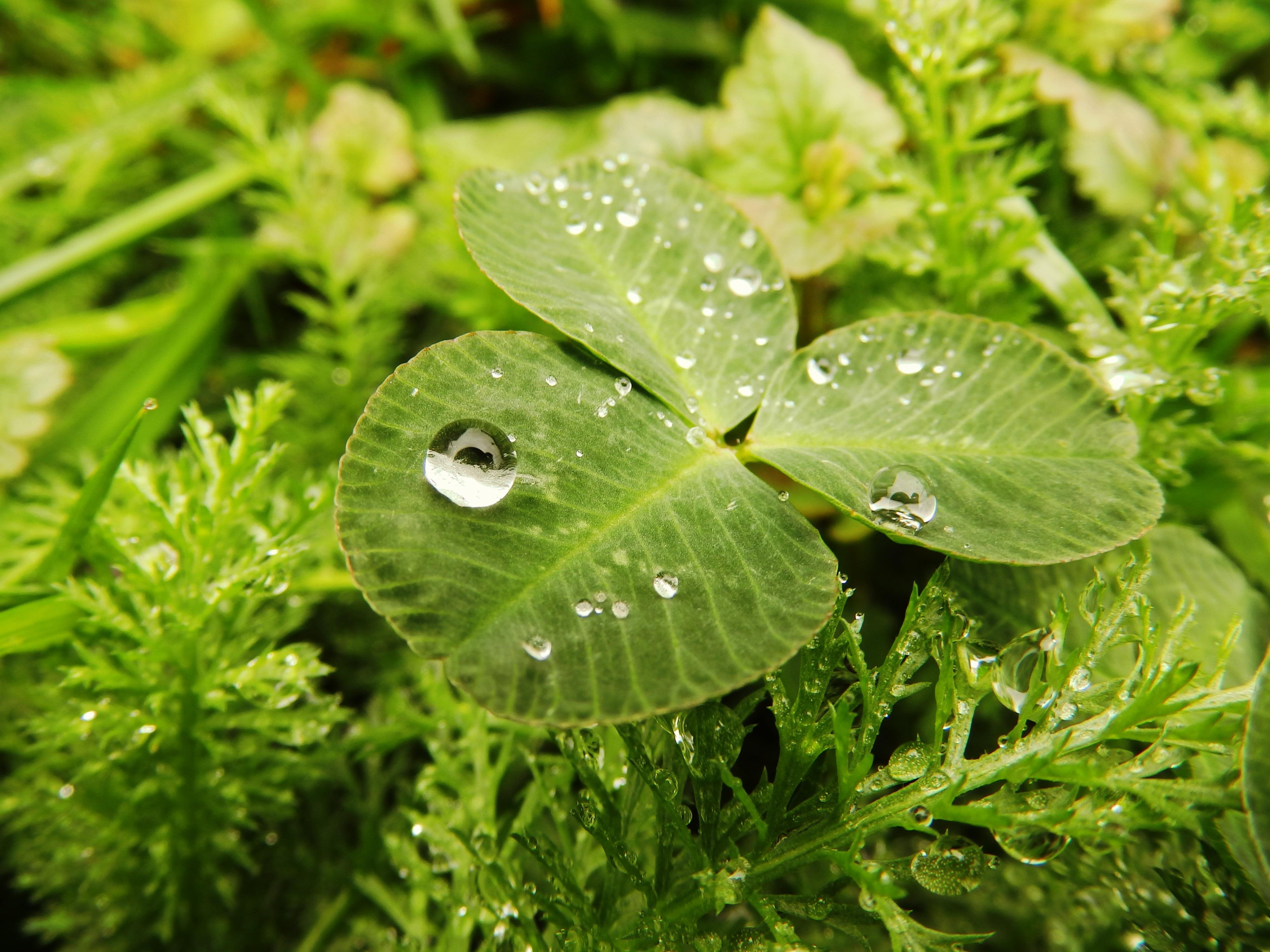 prato, goccia d\u0027acqua, foglia, fiore, goccia di pioggia, bagnato,  primavera, verde, botanica, flora, Fiore di campo, foglio, dettagliato,  quadrifoglio,