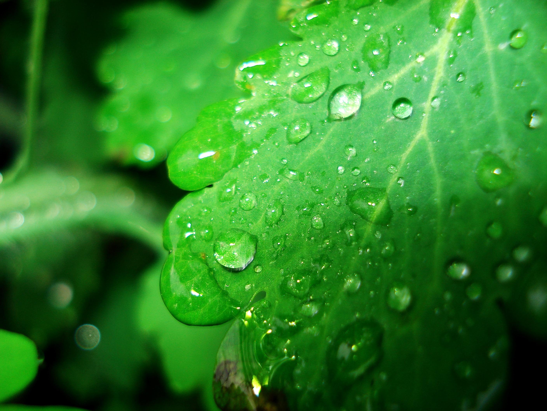 how to get leaf of kudzu drop