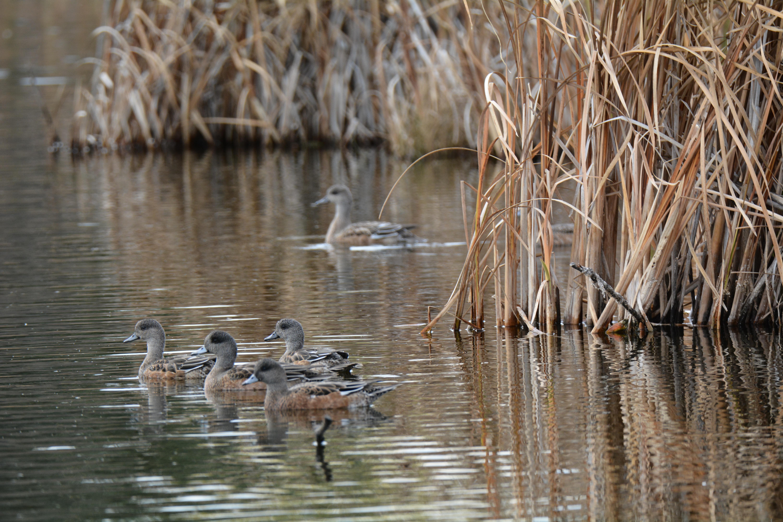 картинки озеро и камыши с утками очень яркую