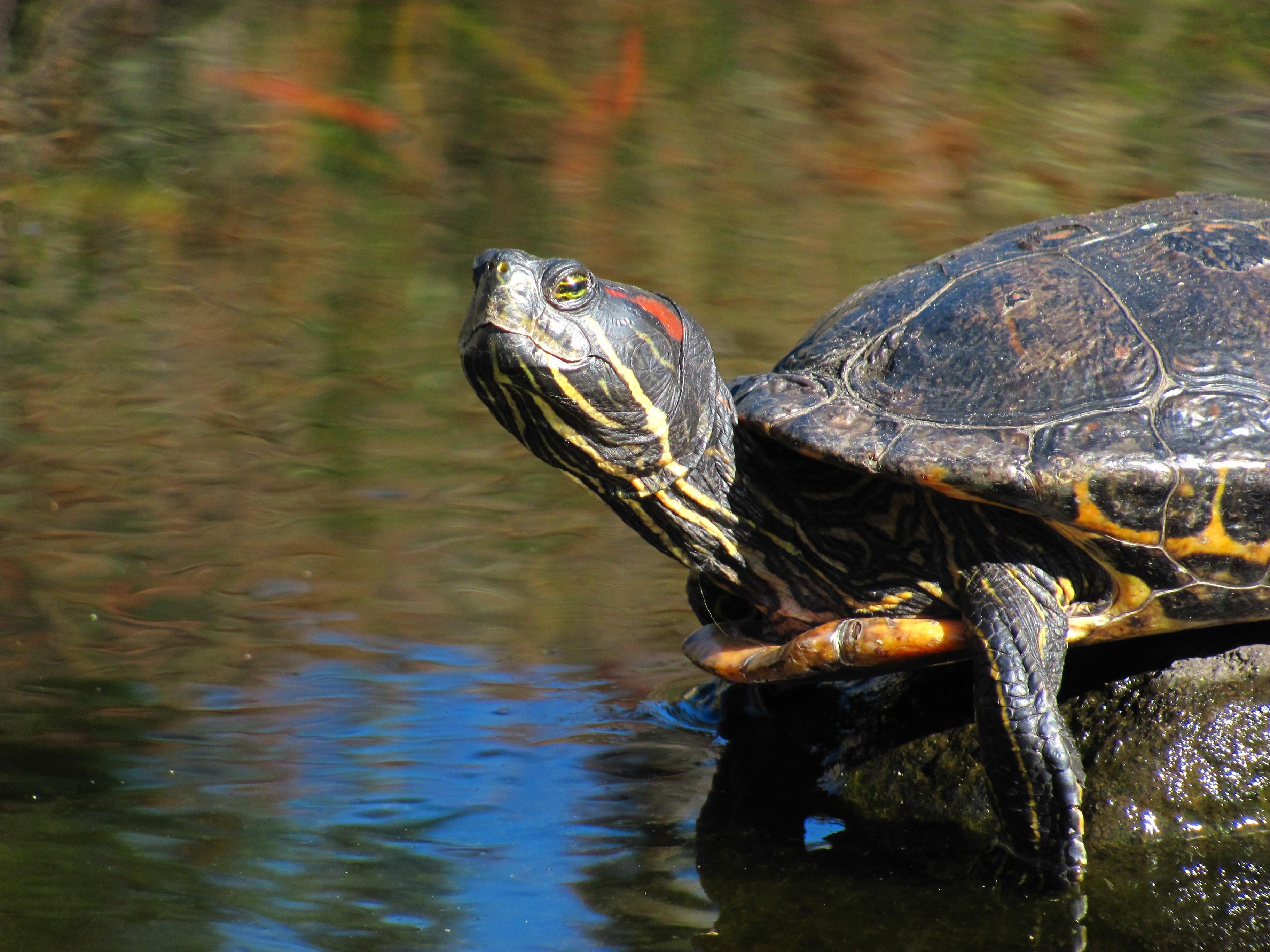 временем водная черепаха картинки этом разделе