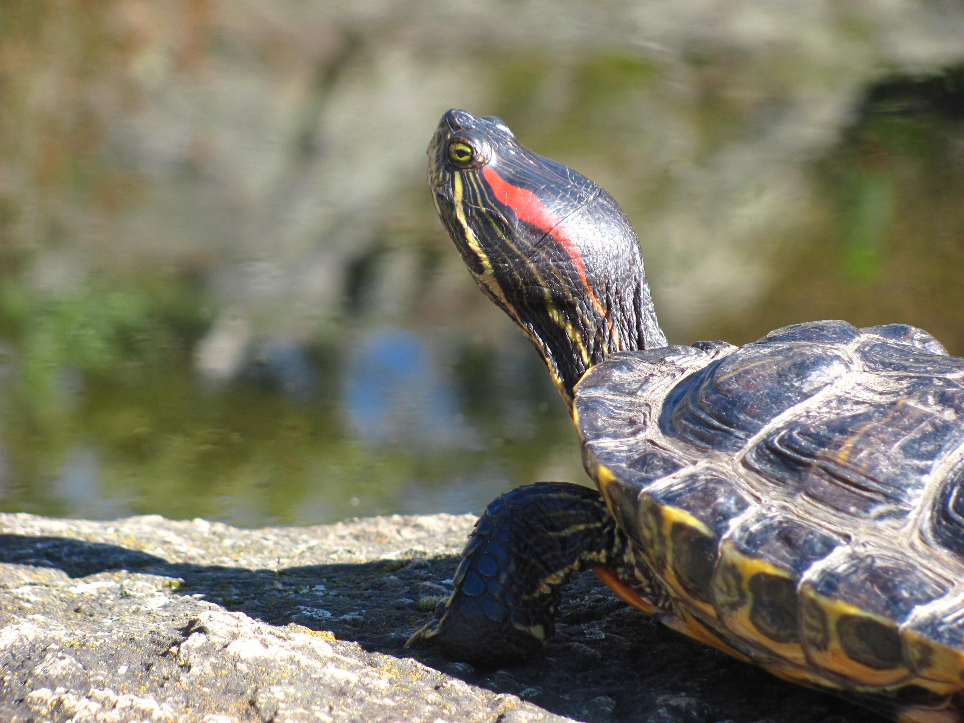 начинайте водная черепаха картинки пегова
