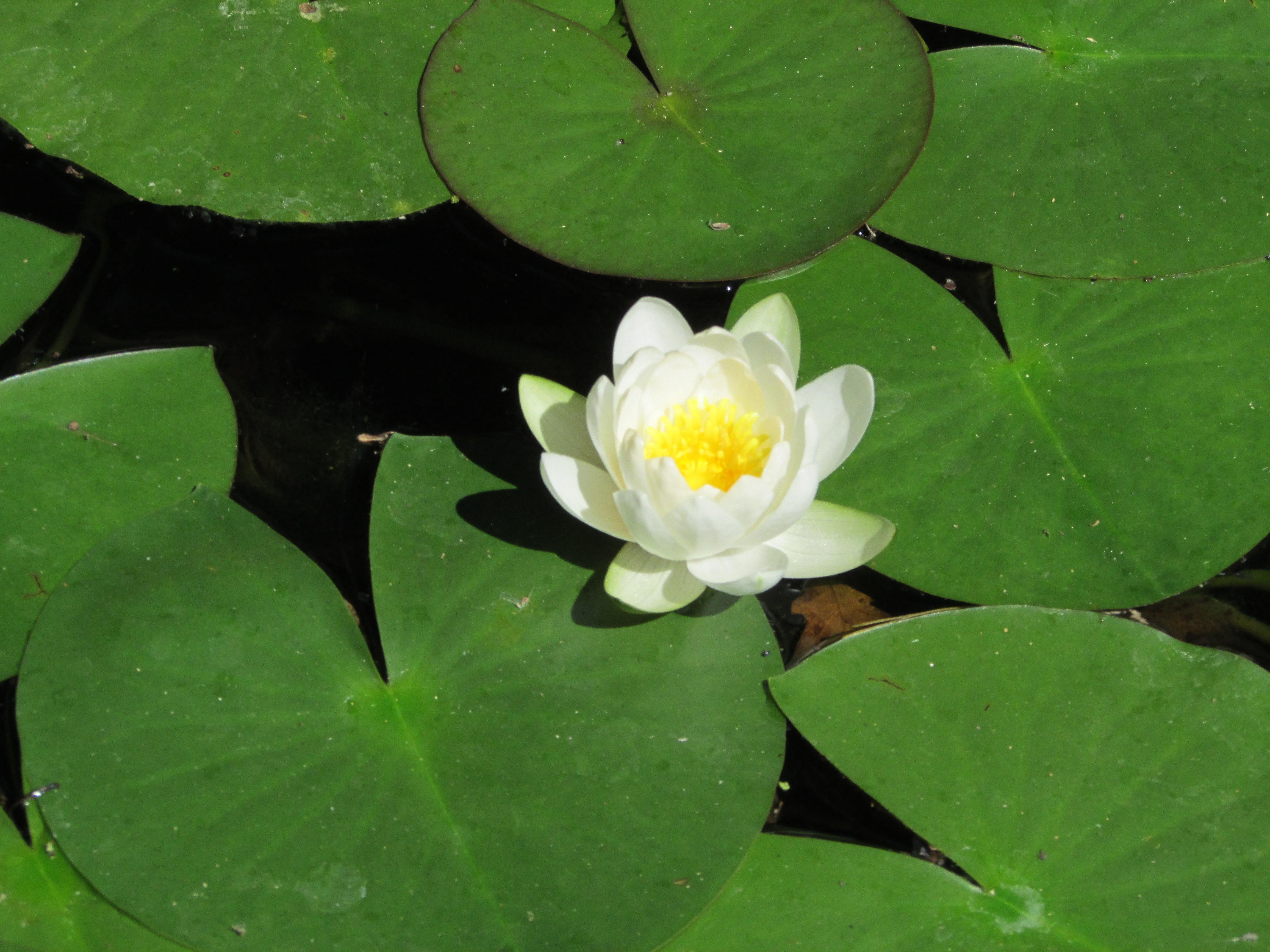Fotos gratis : naturaleza, hoja, pétalo, verde, reflexión, botánica ...