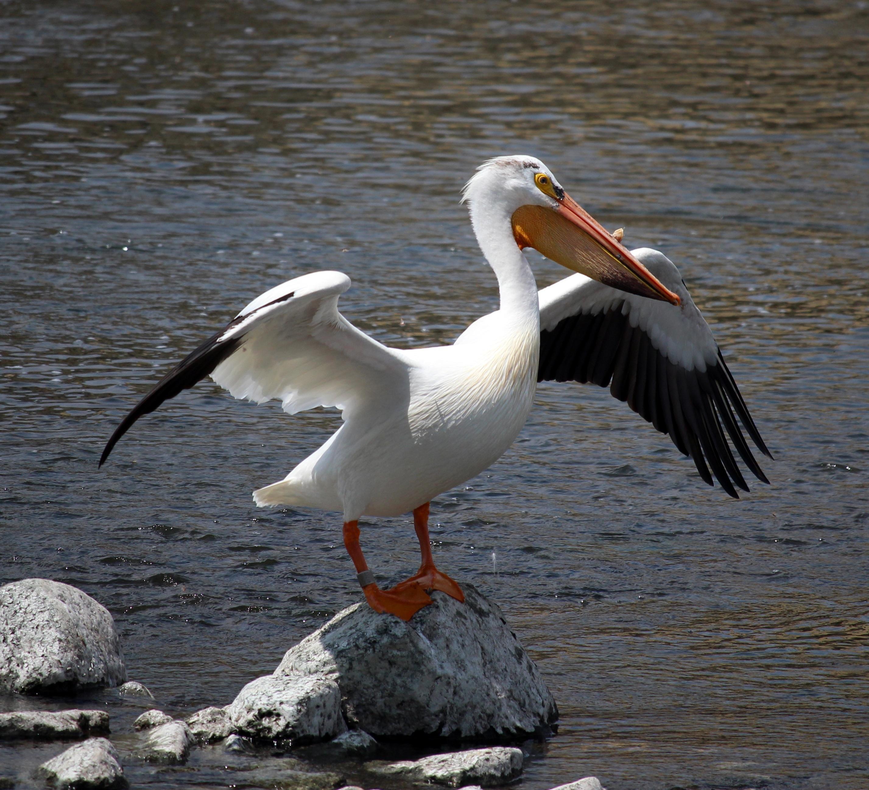 Звук птицы пеликан скачать