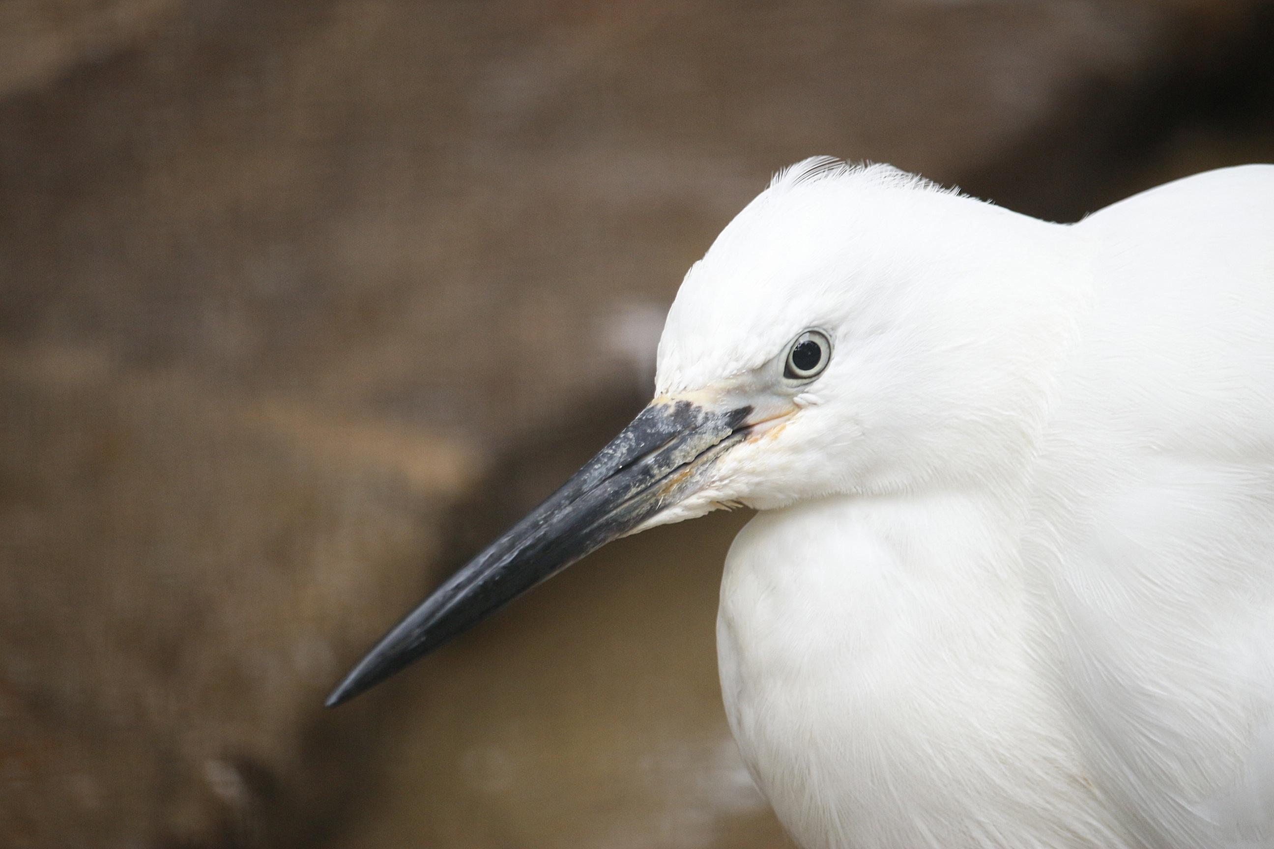 Gambar  alam, gurun, sayap, hitam dan putih, hewan, margasatwa ...