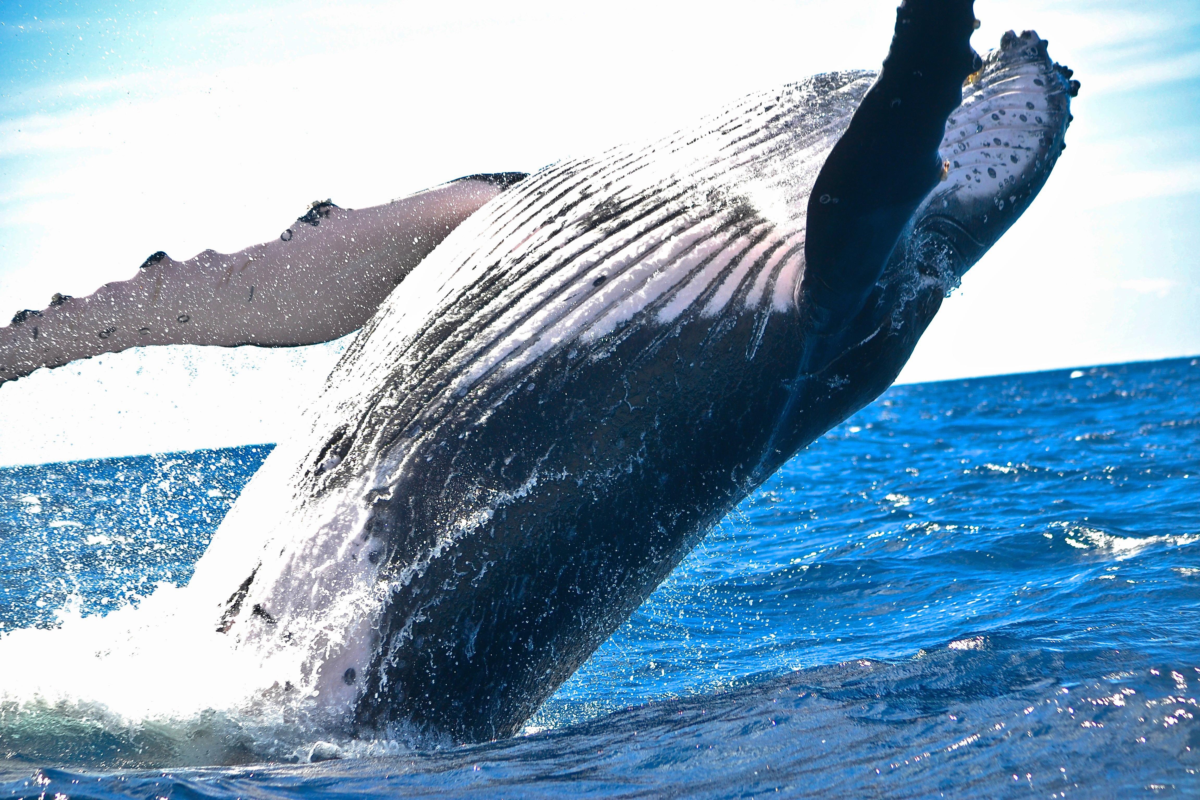 Free Images : water, ocean, splash, humpback whale, fin ...