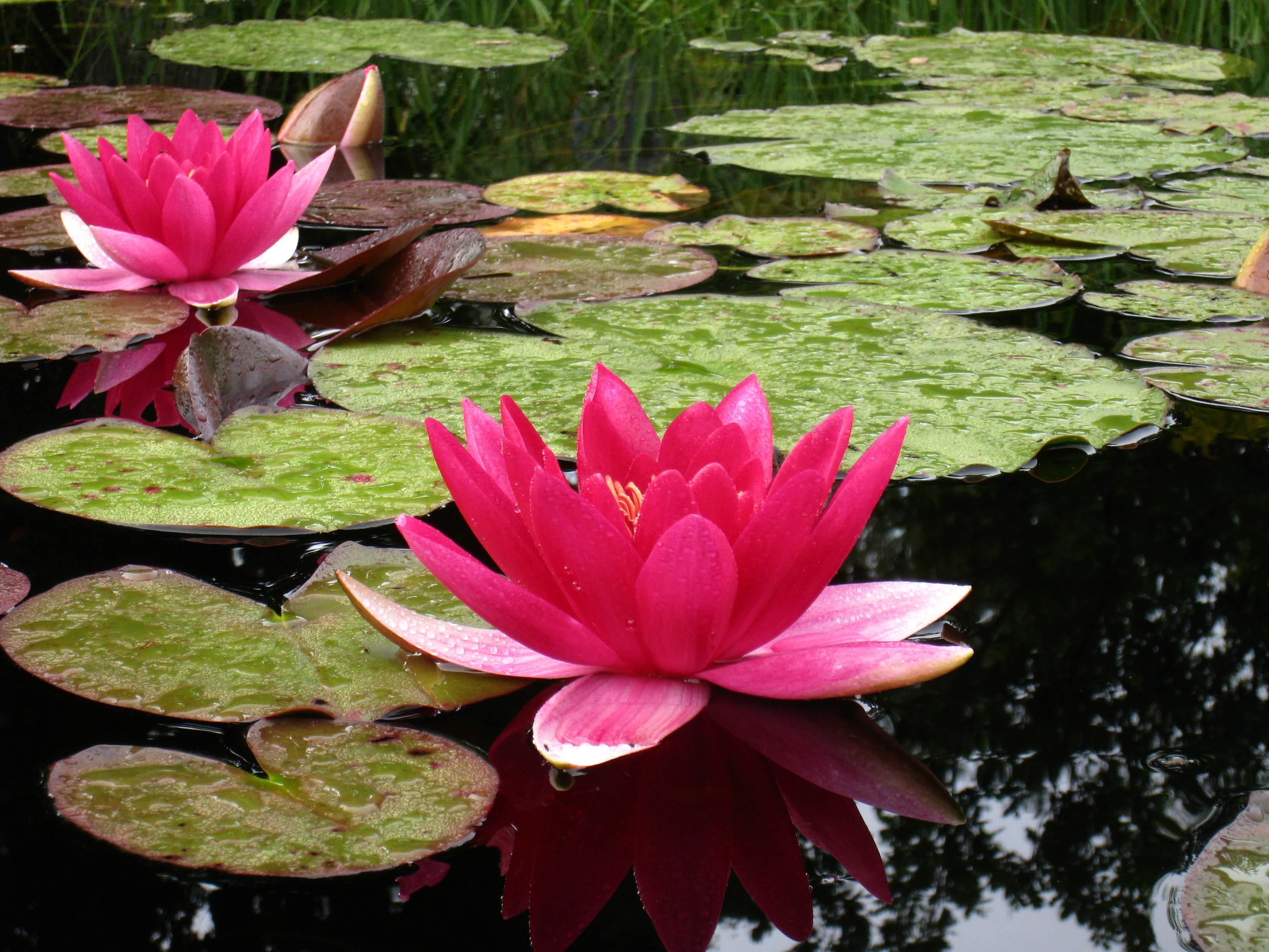 Free Images : leaf, flower, petal, summer, pond, red, dust, botany ...