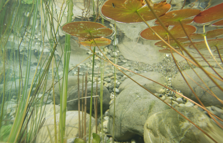 kostenlose foto wasser pflanze fotografie blatt teich unterwasser gr n botanik fauna. Black Bedroom Furniture Sets. Home Design Ideas