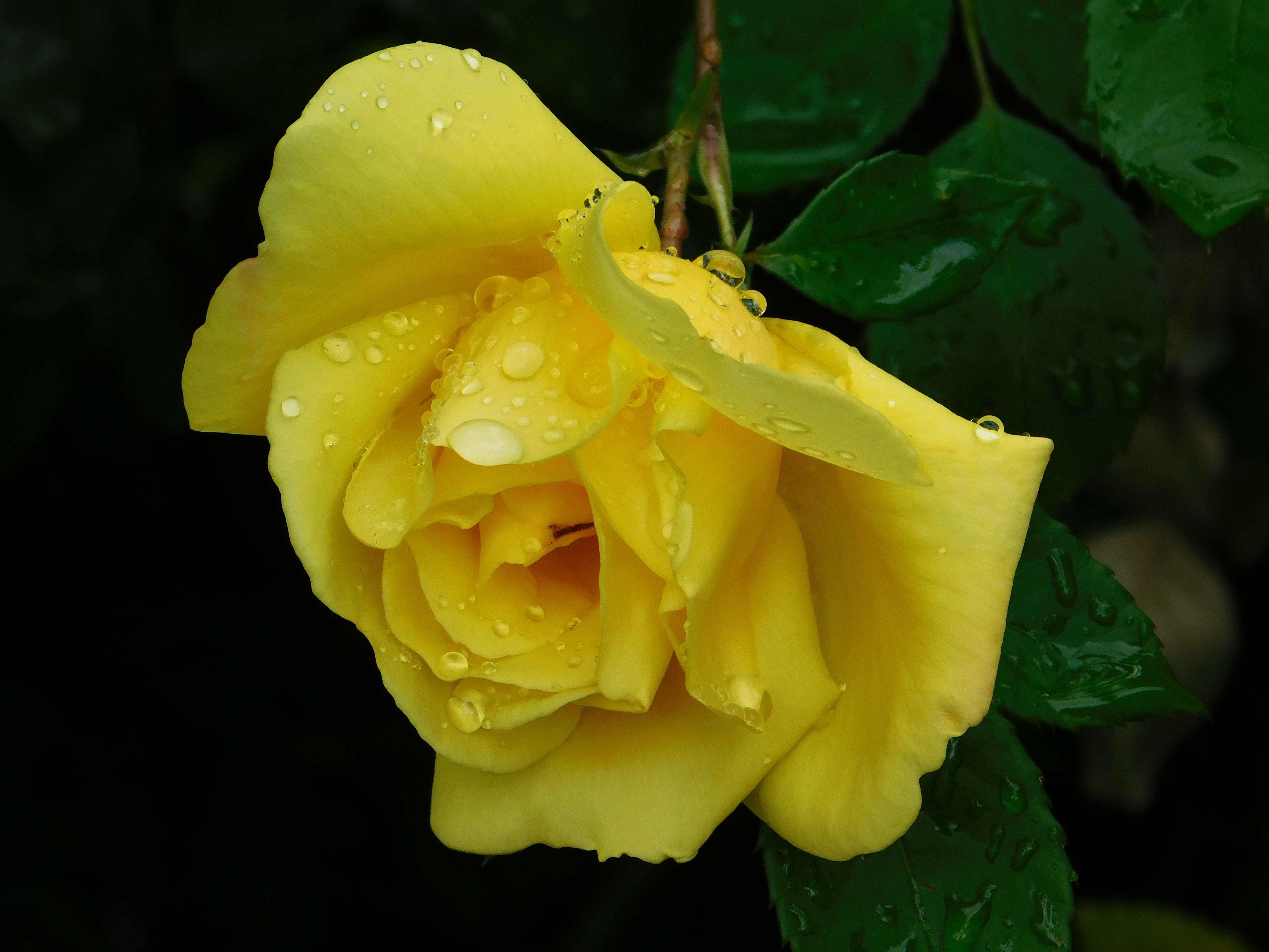 кекс мв, картинки растоптать желтую розу уже