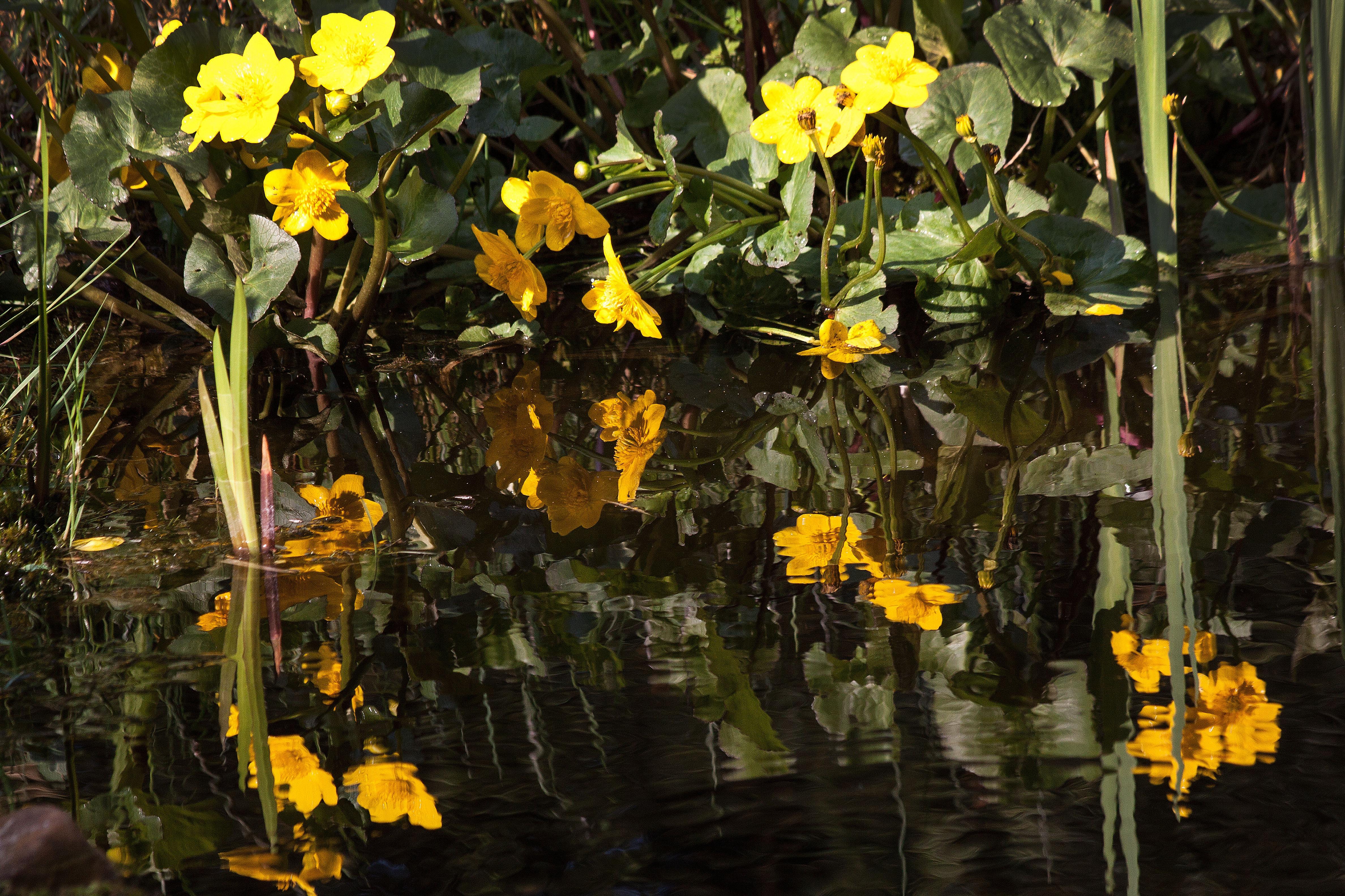 желтые цветы на пруду фото