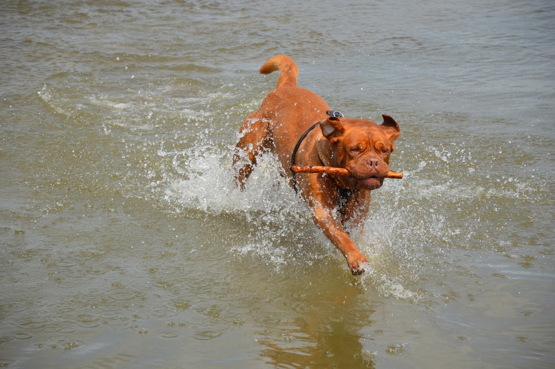 Gratis Afbeeldingen Water Spelen Huisdier Actie Huisdieren