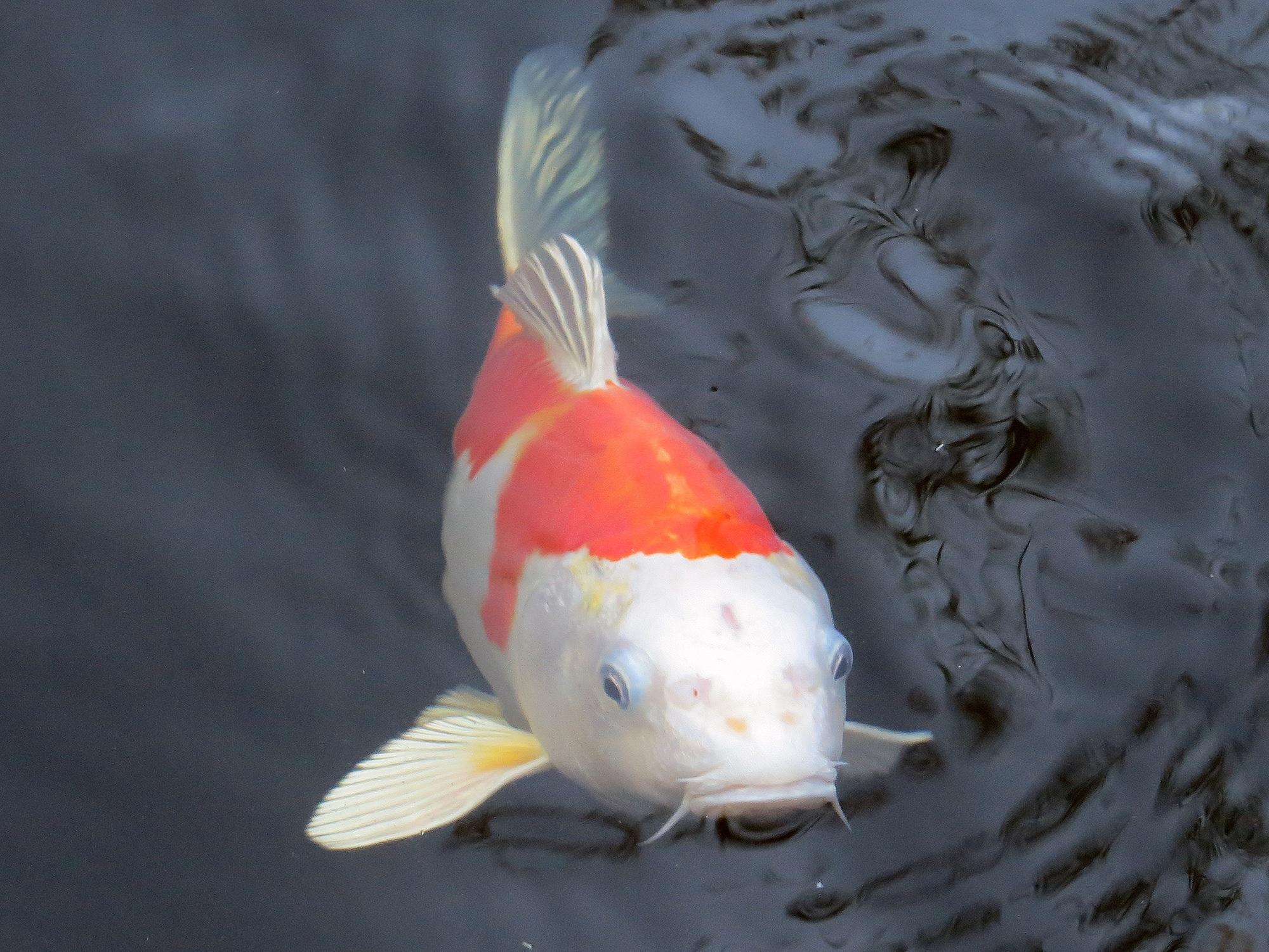 Photo de carpe koi fashion designs for Croisement carpe koi poisson rouge