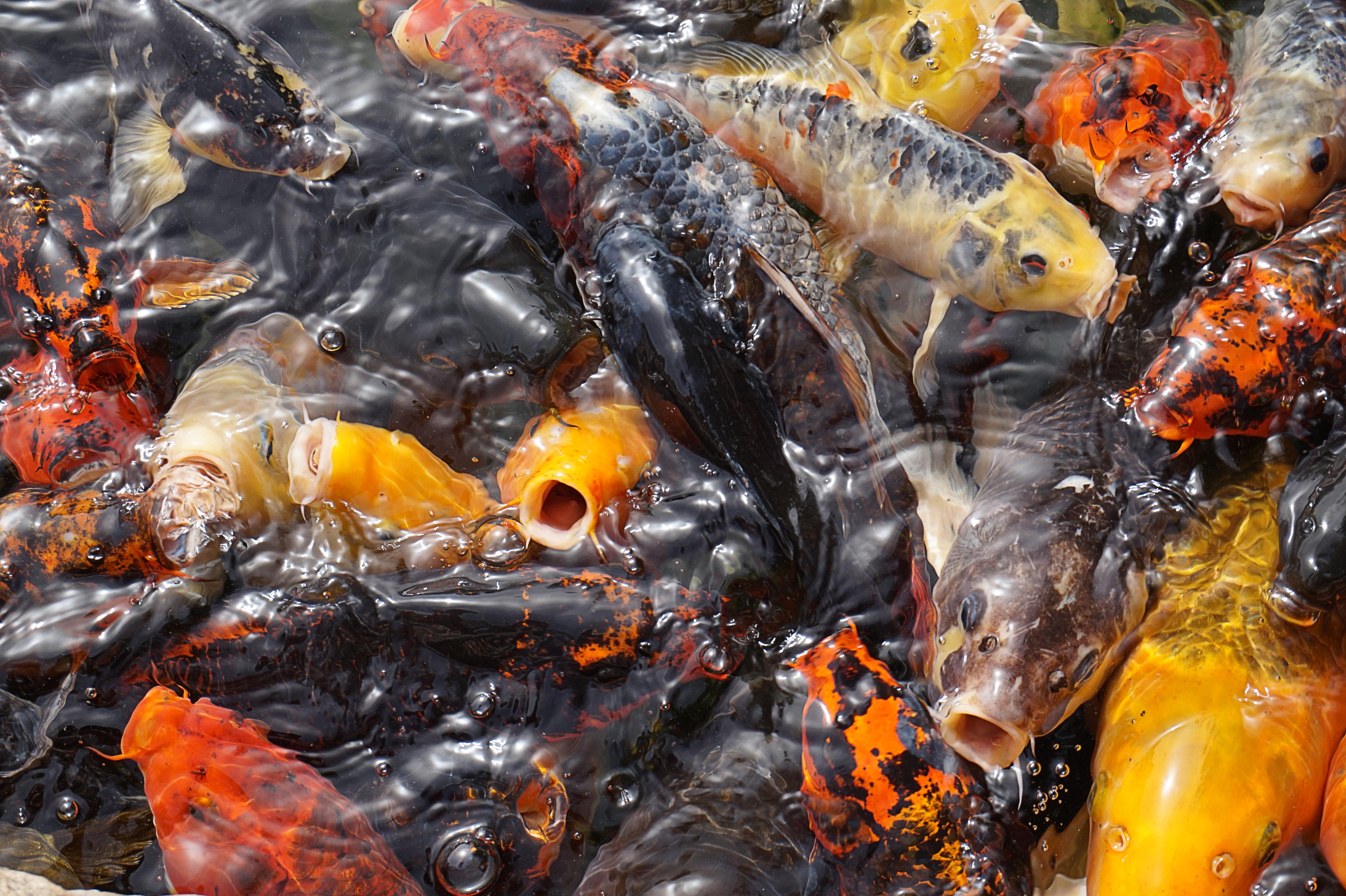 Images gratuites eau tang nager vert chine poisson for Croisement carpe koi poisson rouge
