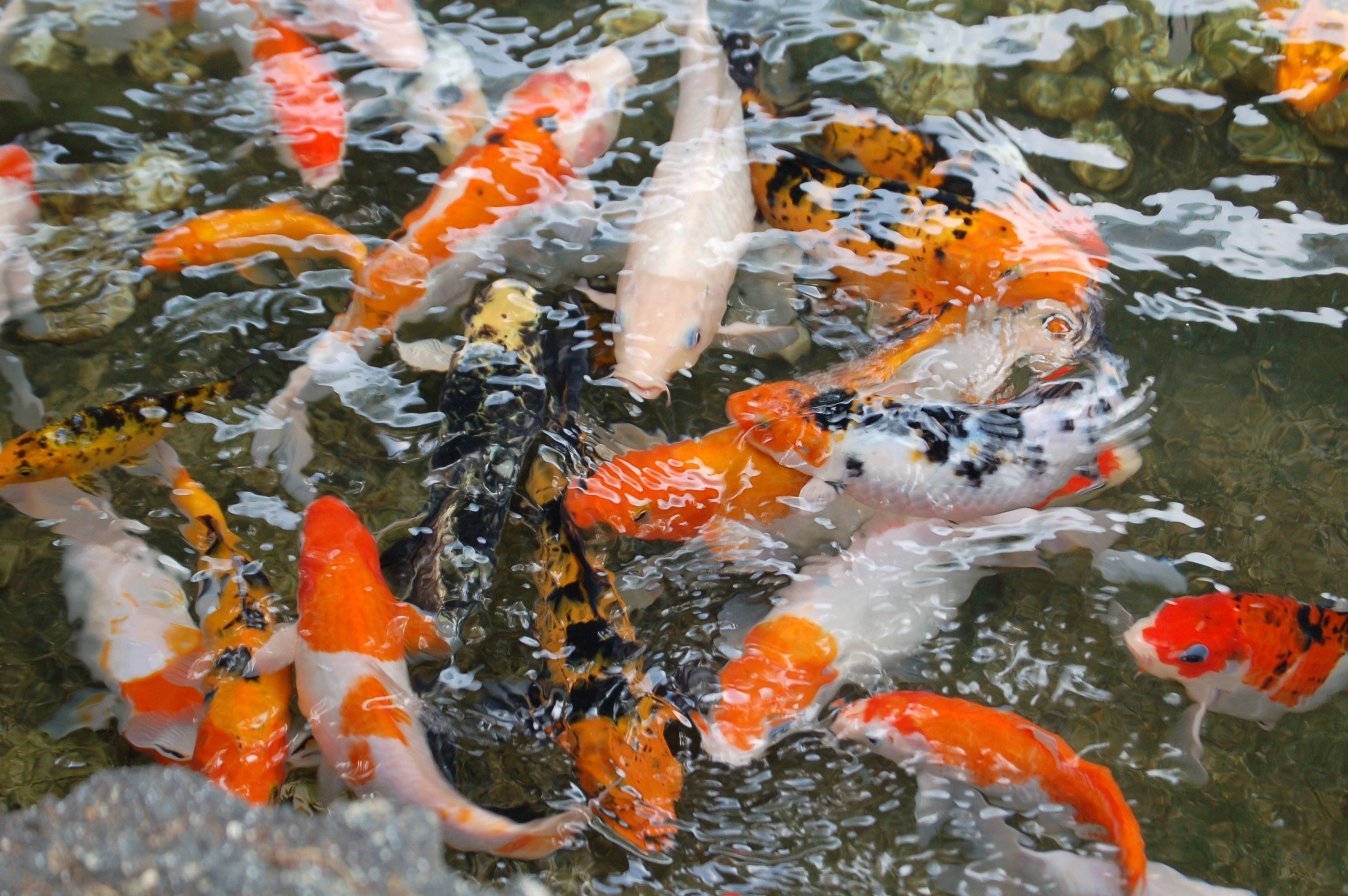 Free images water underwater animals goldfish fish for Koi fish in pool