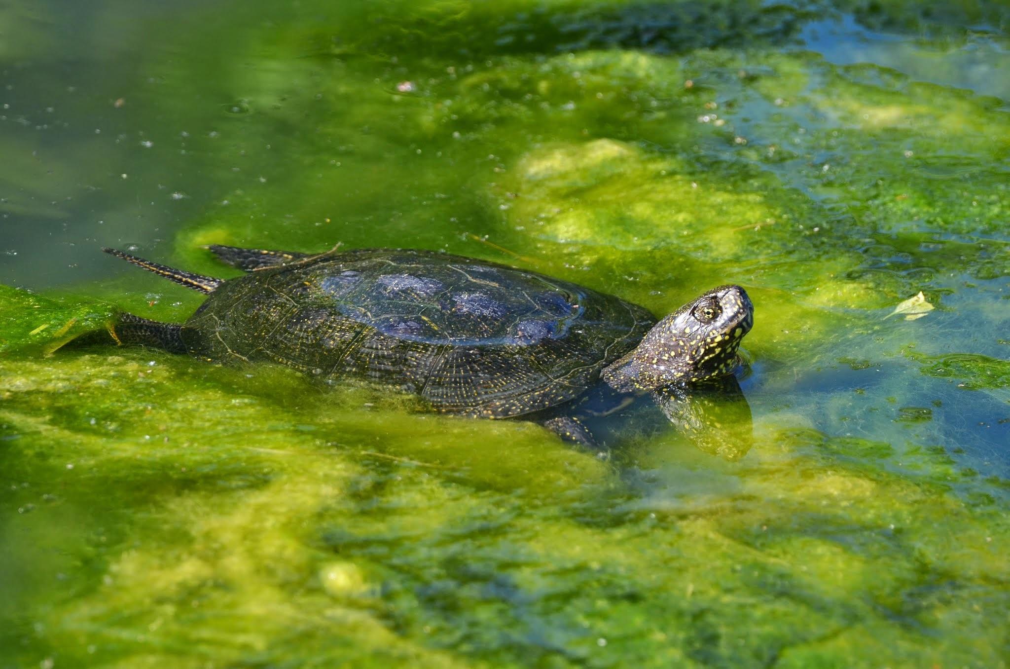 болотная черепаха фото вас вашим
