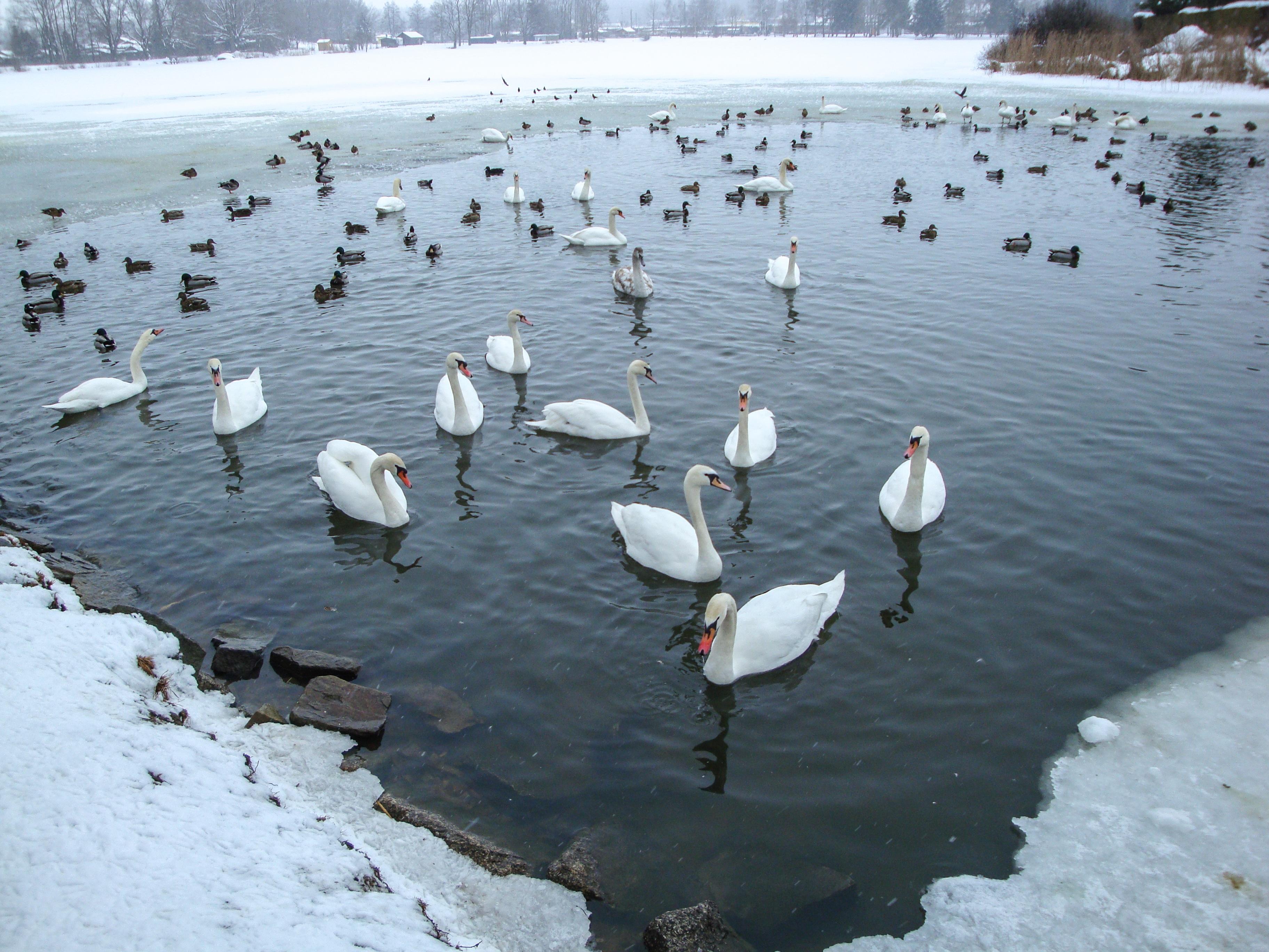 Kostenlose foto wasser schnee winter vogel see for Teich winter