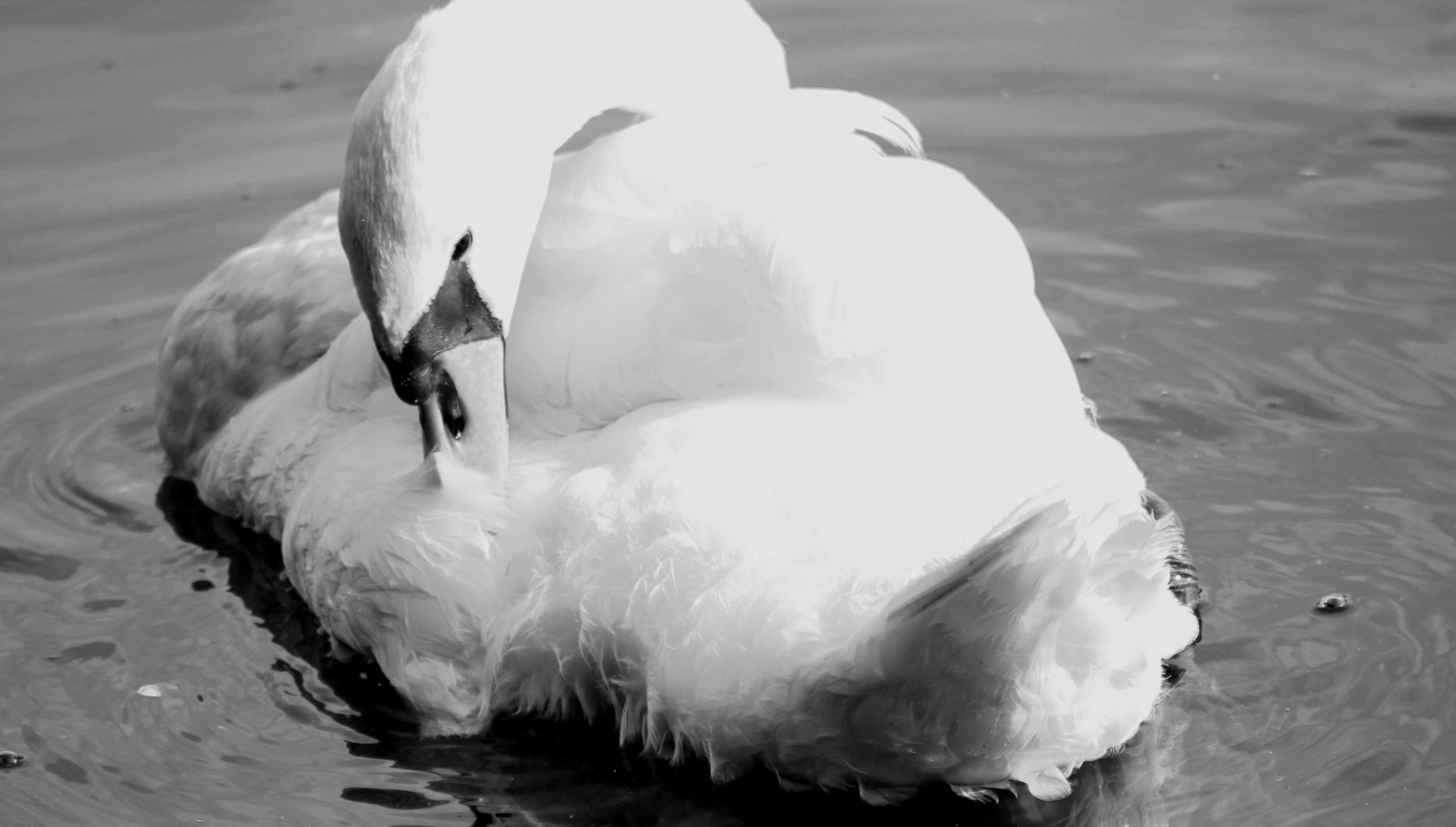 čierne vtáky biela