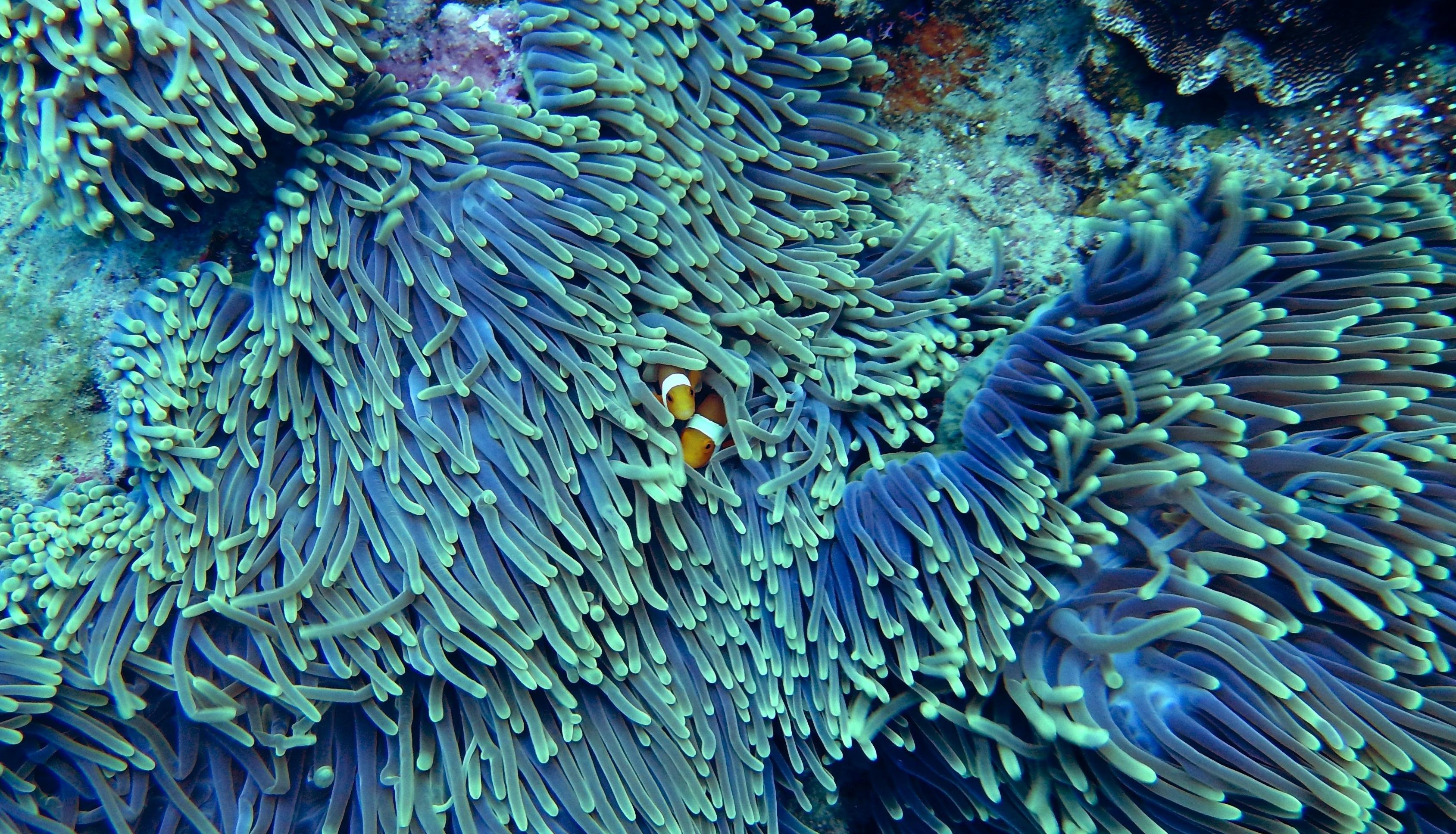 free images underwater coral reef invertebrate clown. Black Bedroom Furniture Sets. Home Design Ideas