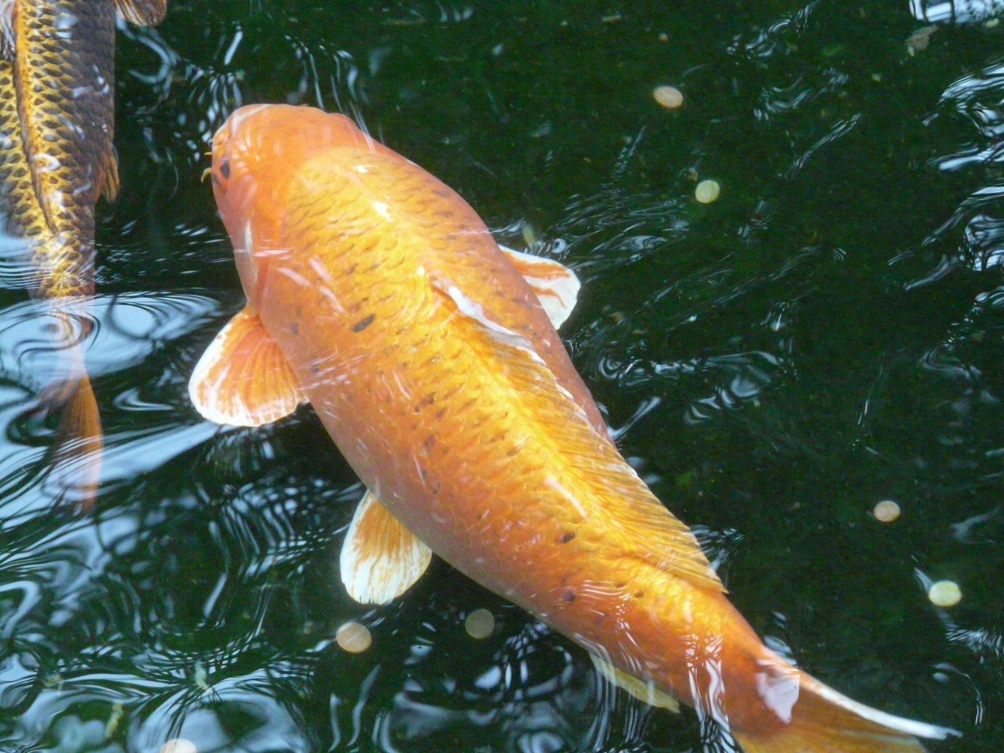 Fotos gratis : agua, mojado, animal, nadar, escala, pescado, aleta ...