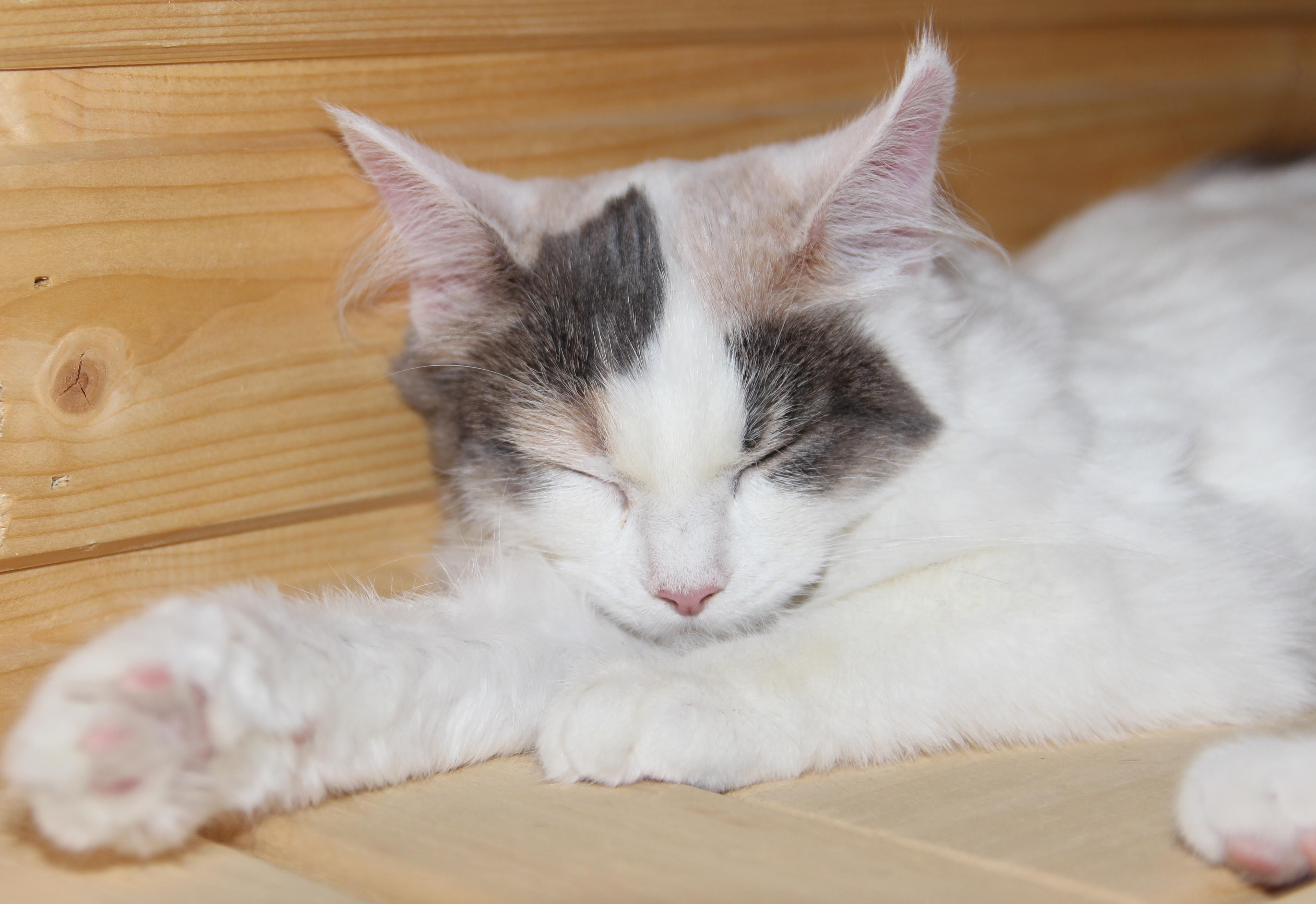 Free Images White Animal Cute Pet Kitten Feline Tabby Nose