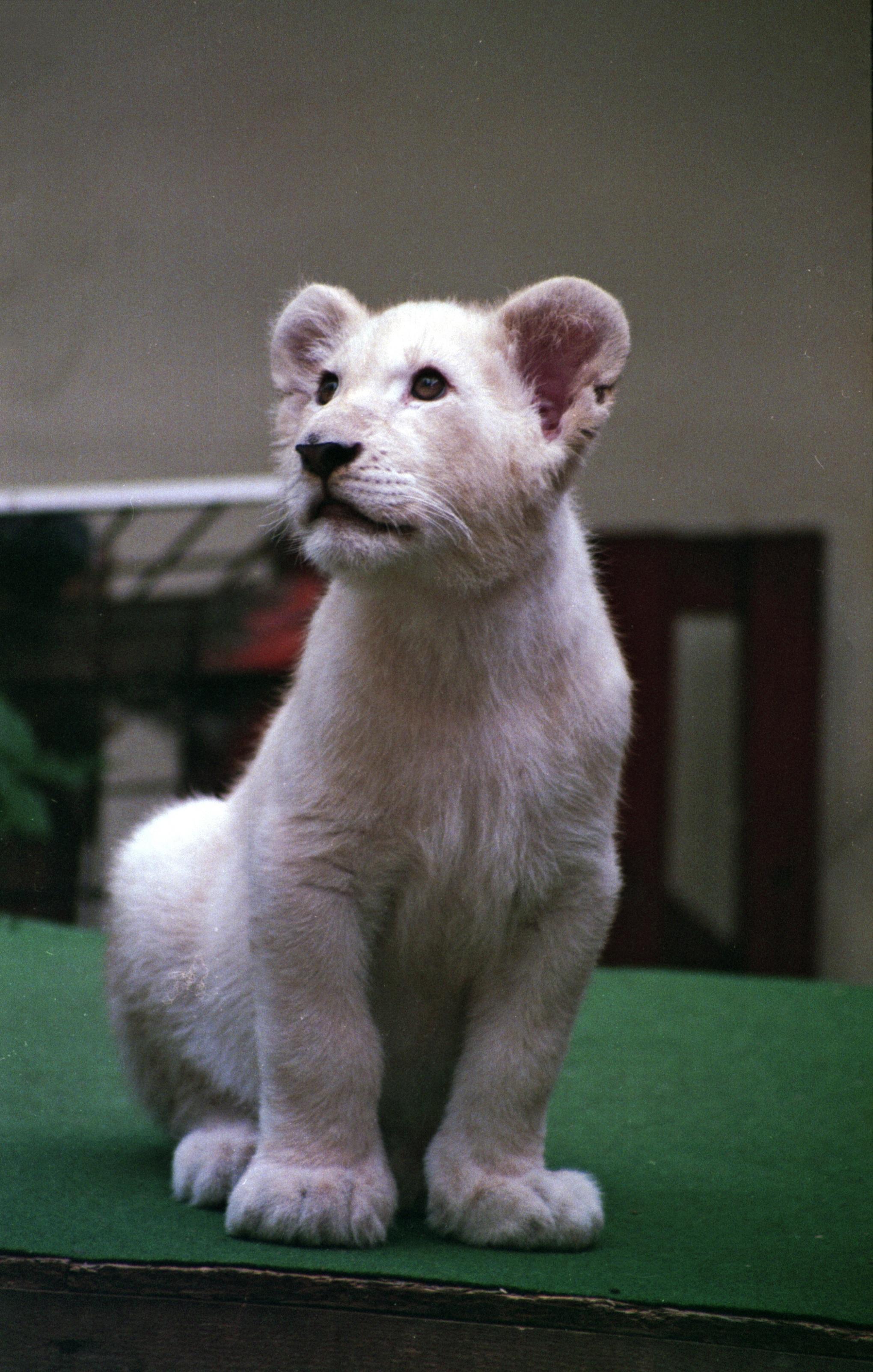 Cheetah S Rock Baby White Lion