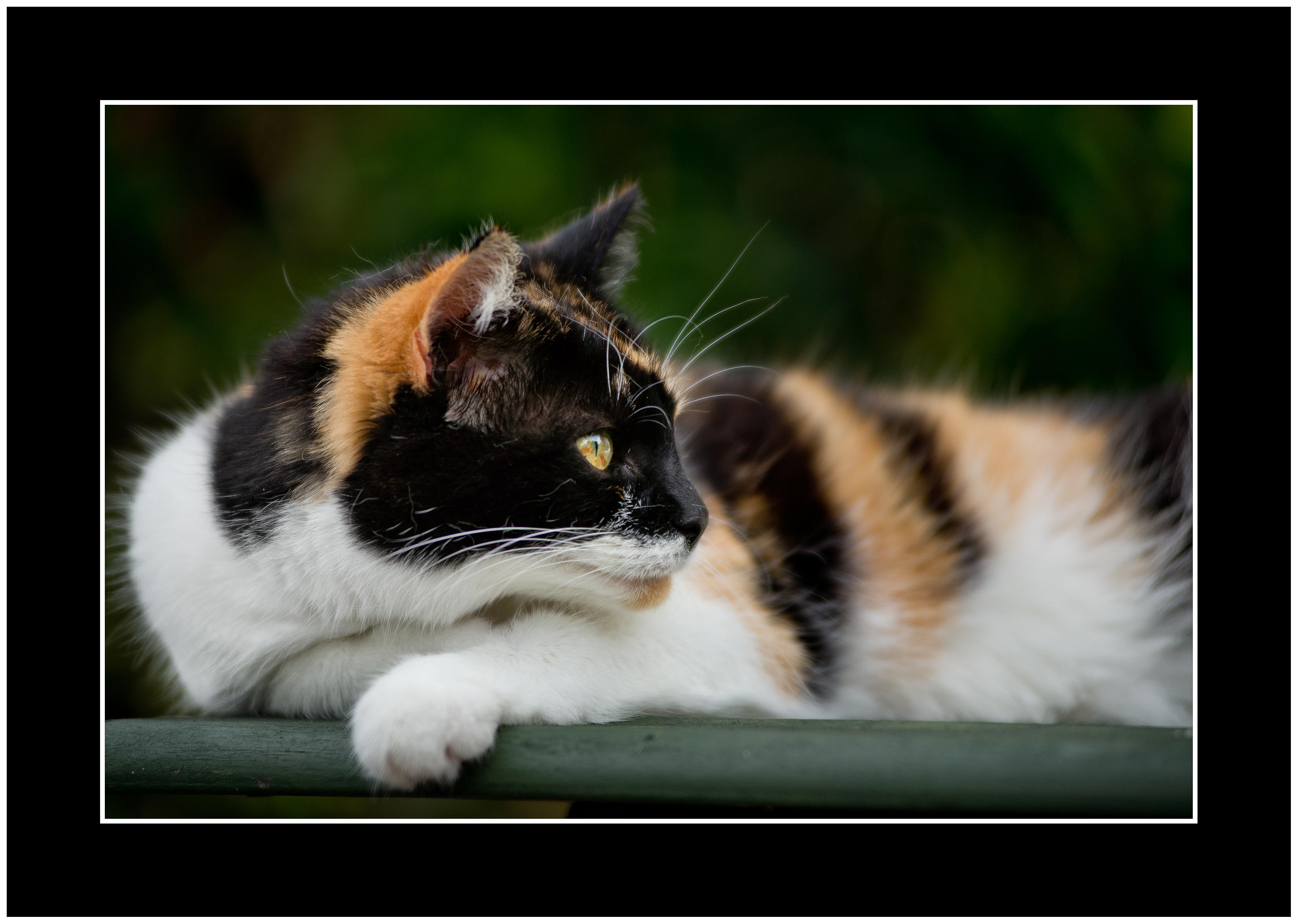 Veľké chlpaté mačička pics