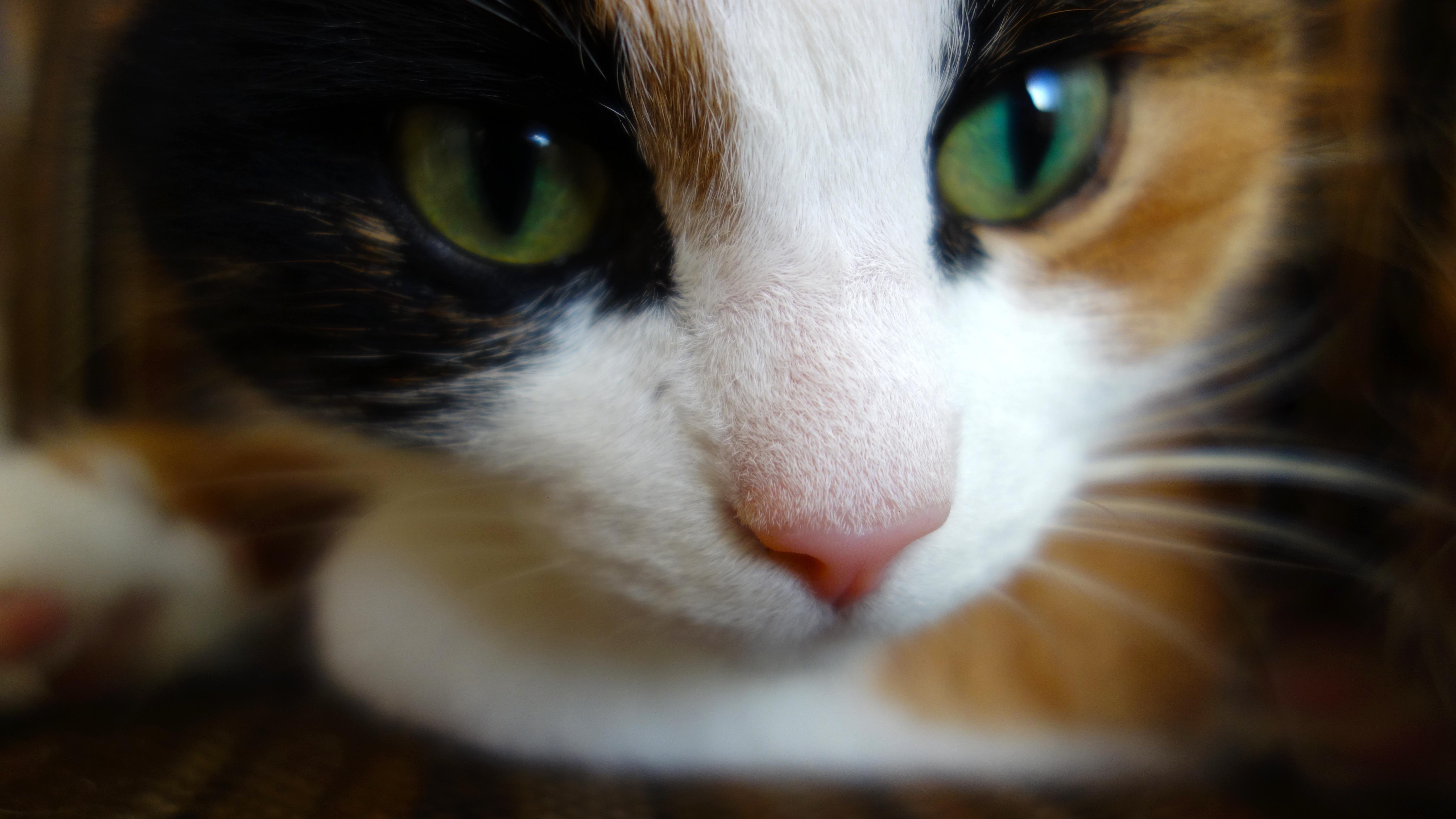 Fotos gratis : blanco, animal, mascota, gatito, gato, color, de ...