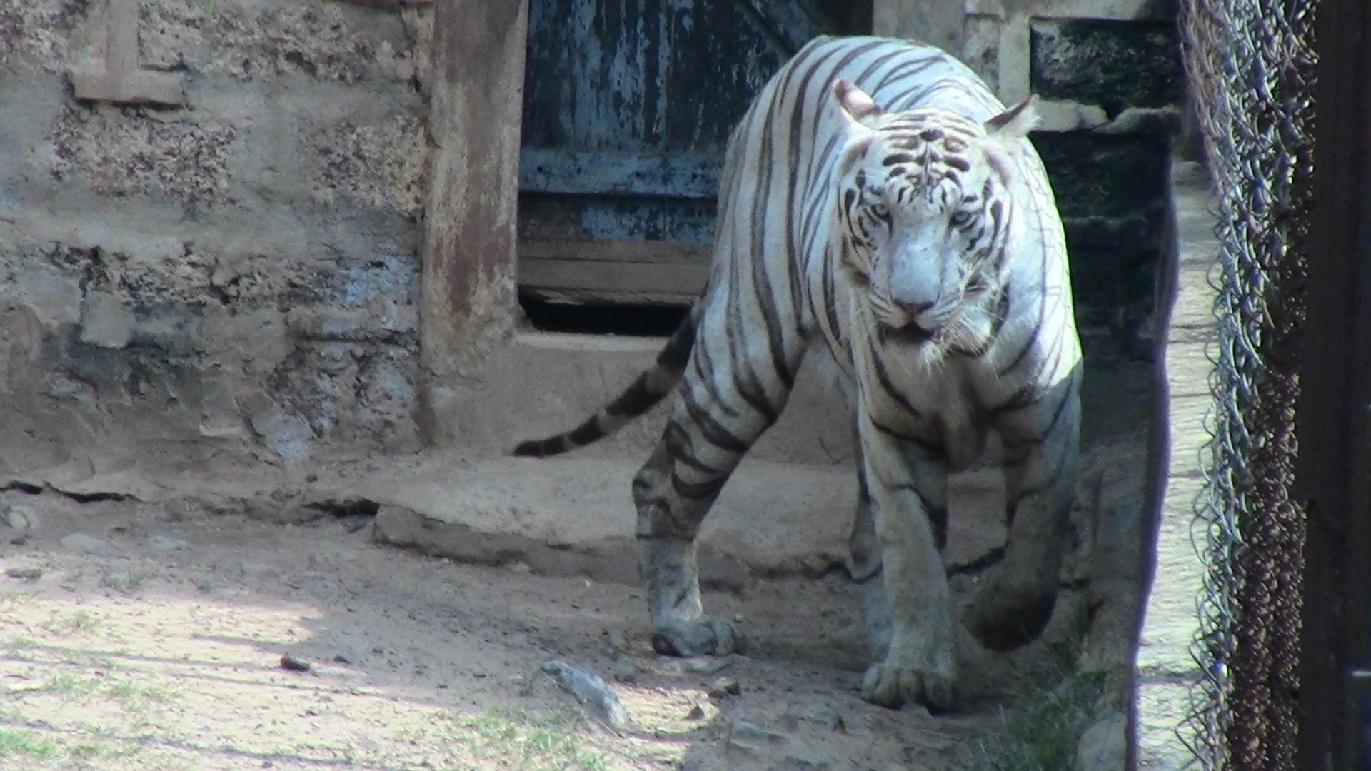 Gambar Putih Hewan Margasatwa Liar Kebun Binatang Rimba