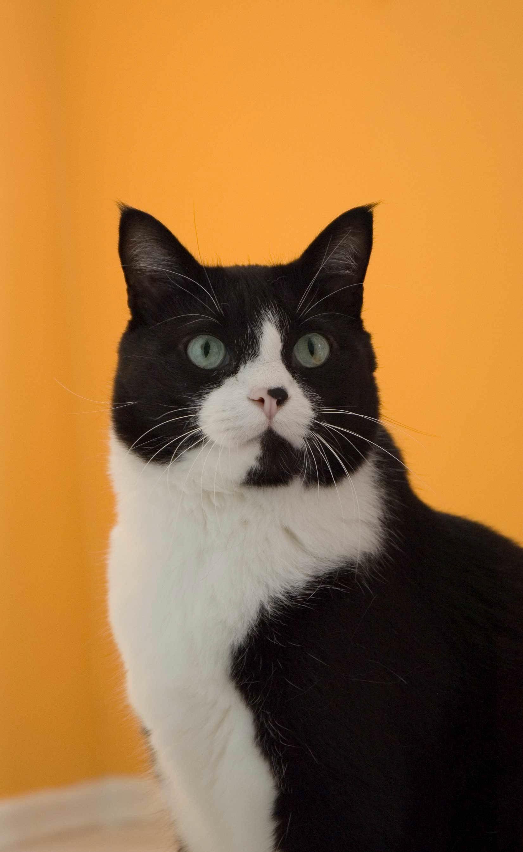 kostenlose foto wei schwarze katze schwarz sitzen nase whiskers wirbeltier. Black Bedroom Furniture Sets. Home Design Ideas