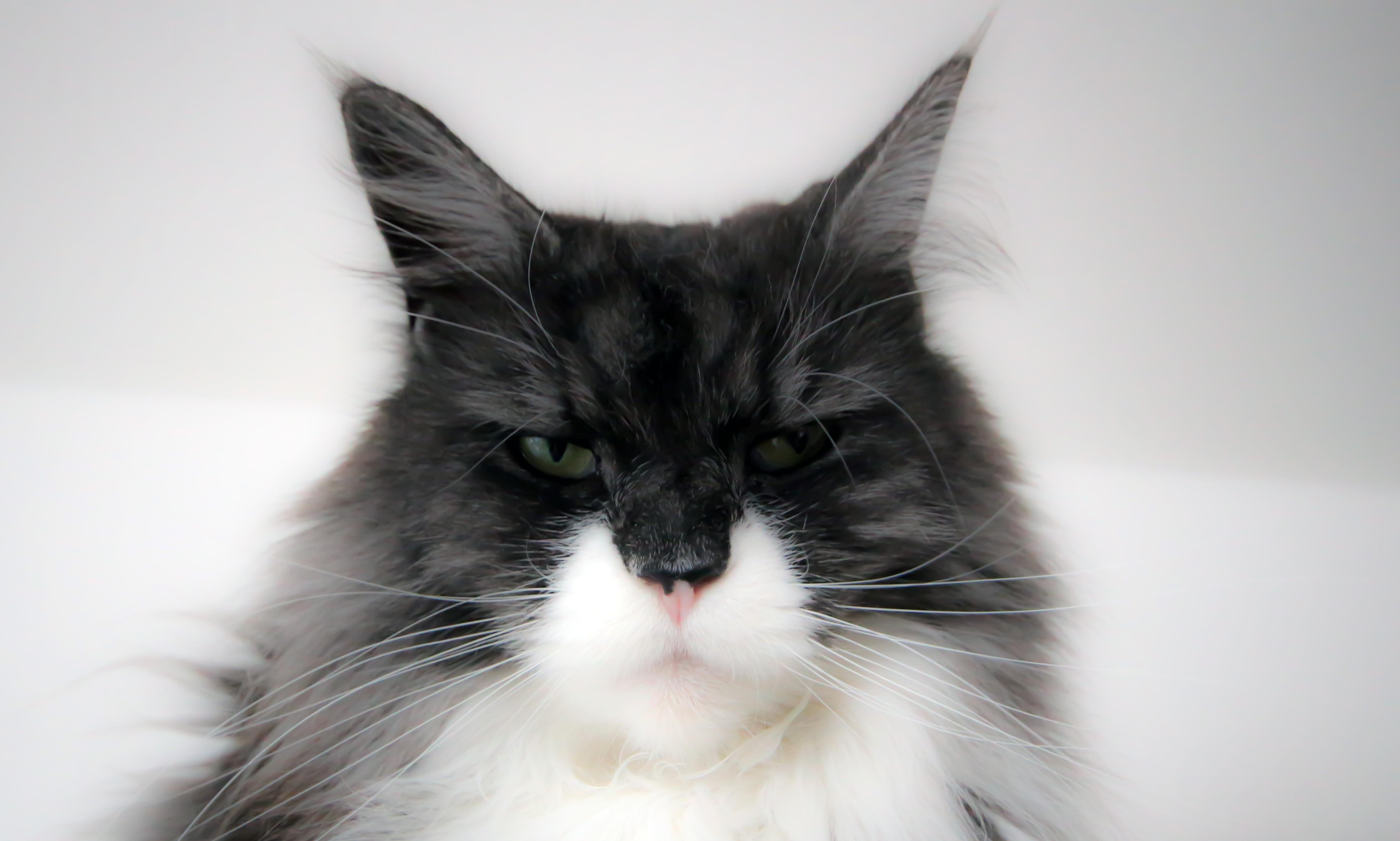 Норвежский кот белый кот черный