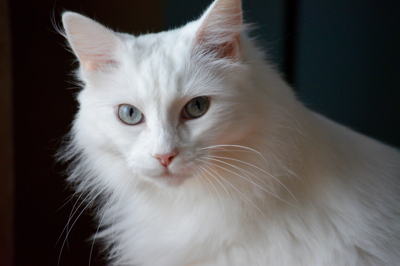 Картинки коты белые