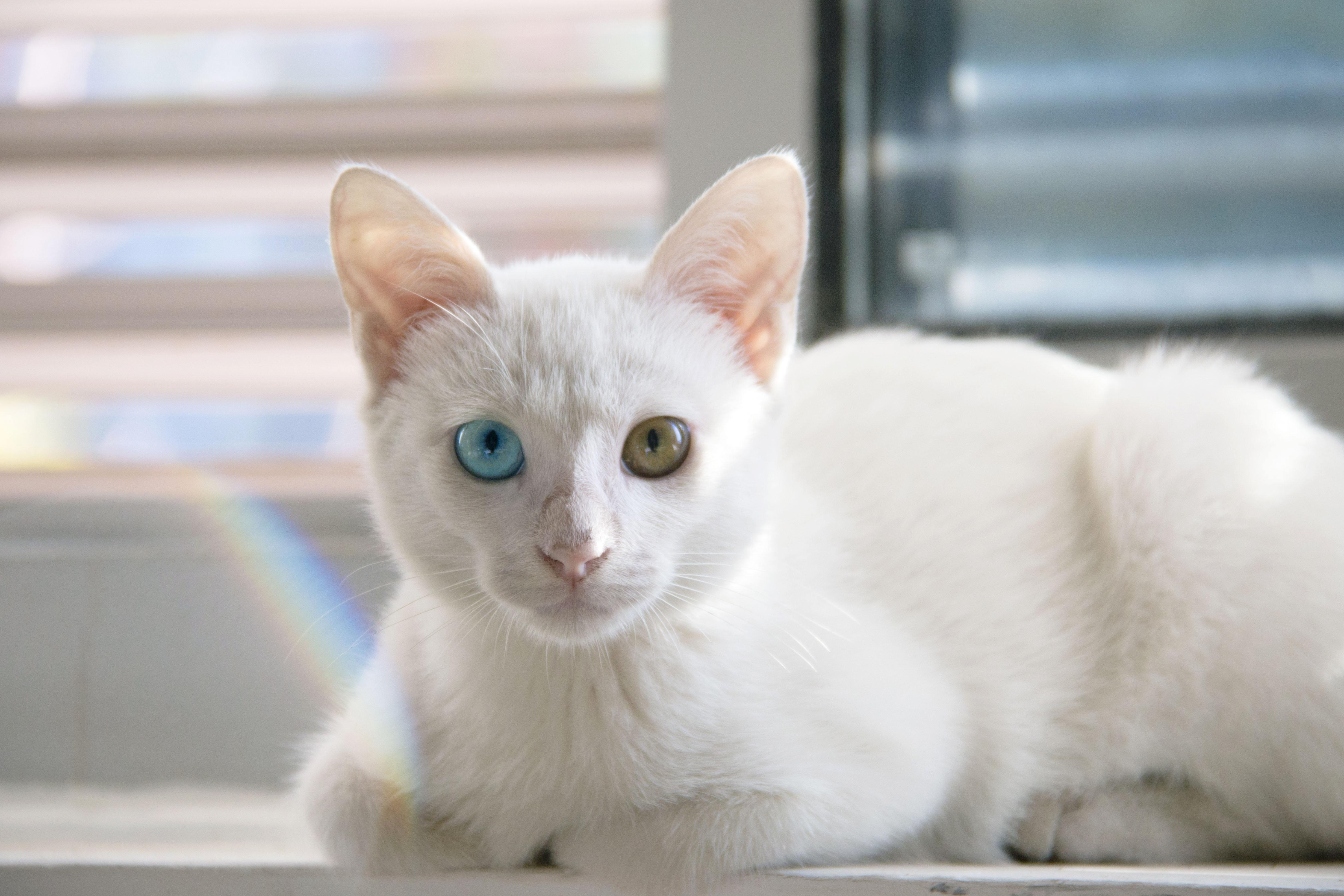 Free Images Cute Kitten Whiskers Vertebrate Javanese Thai