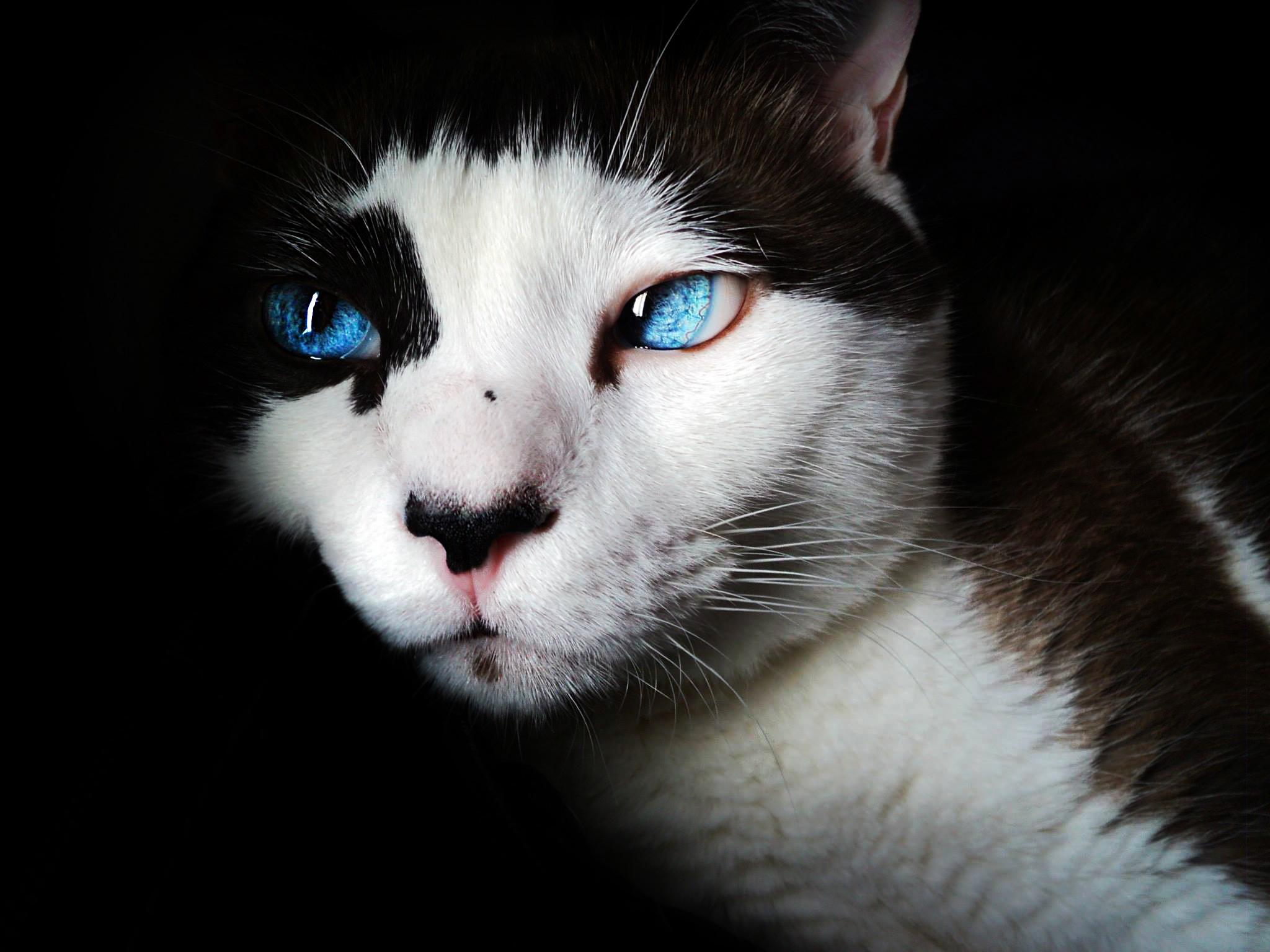 Fotos gratis : blanco, linda, mascota, gatito, felino, negro, de ...