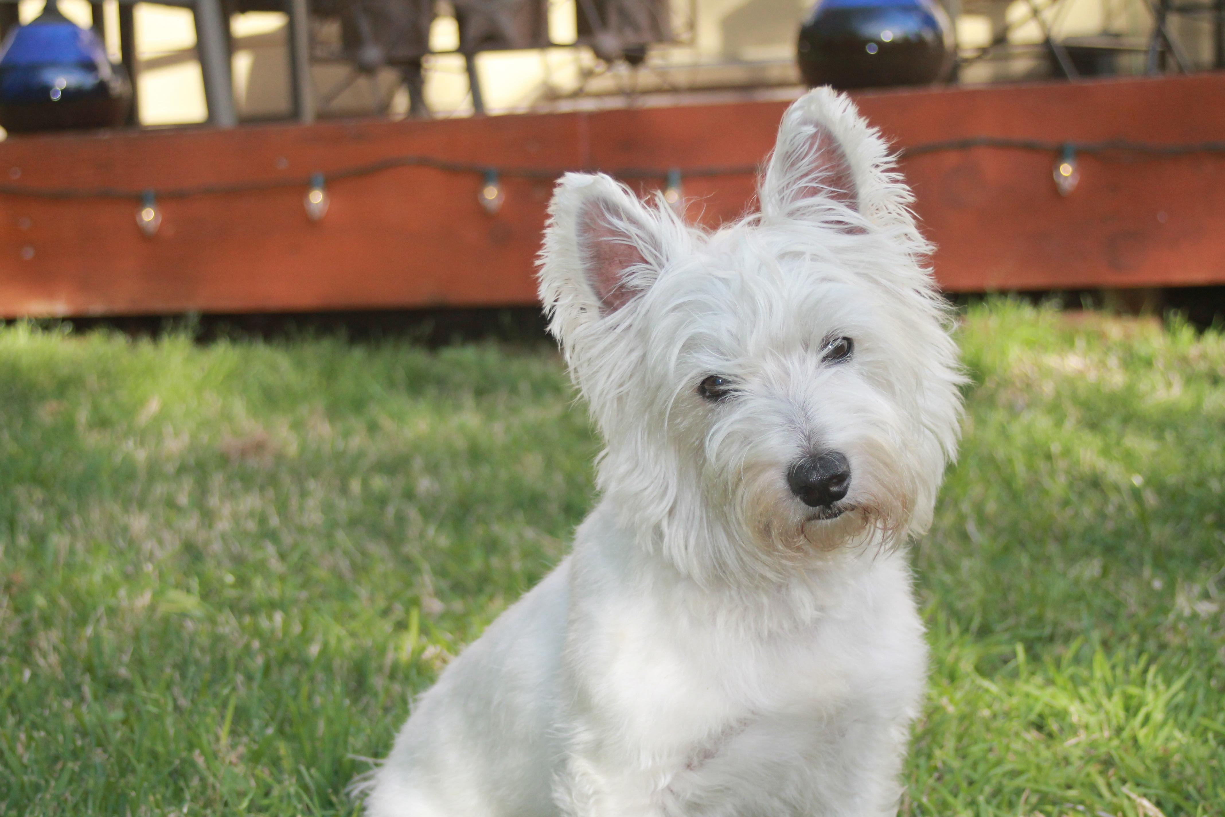 Kostenlose foto : Weiß, Tier, niedlich, Eckzahn, Haustier, Hochland ...