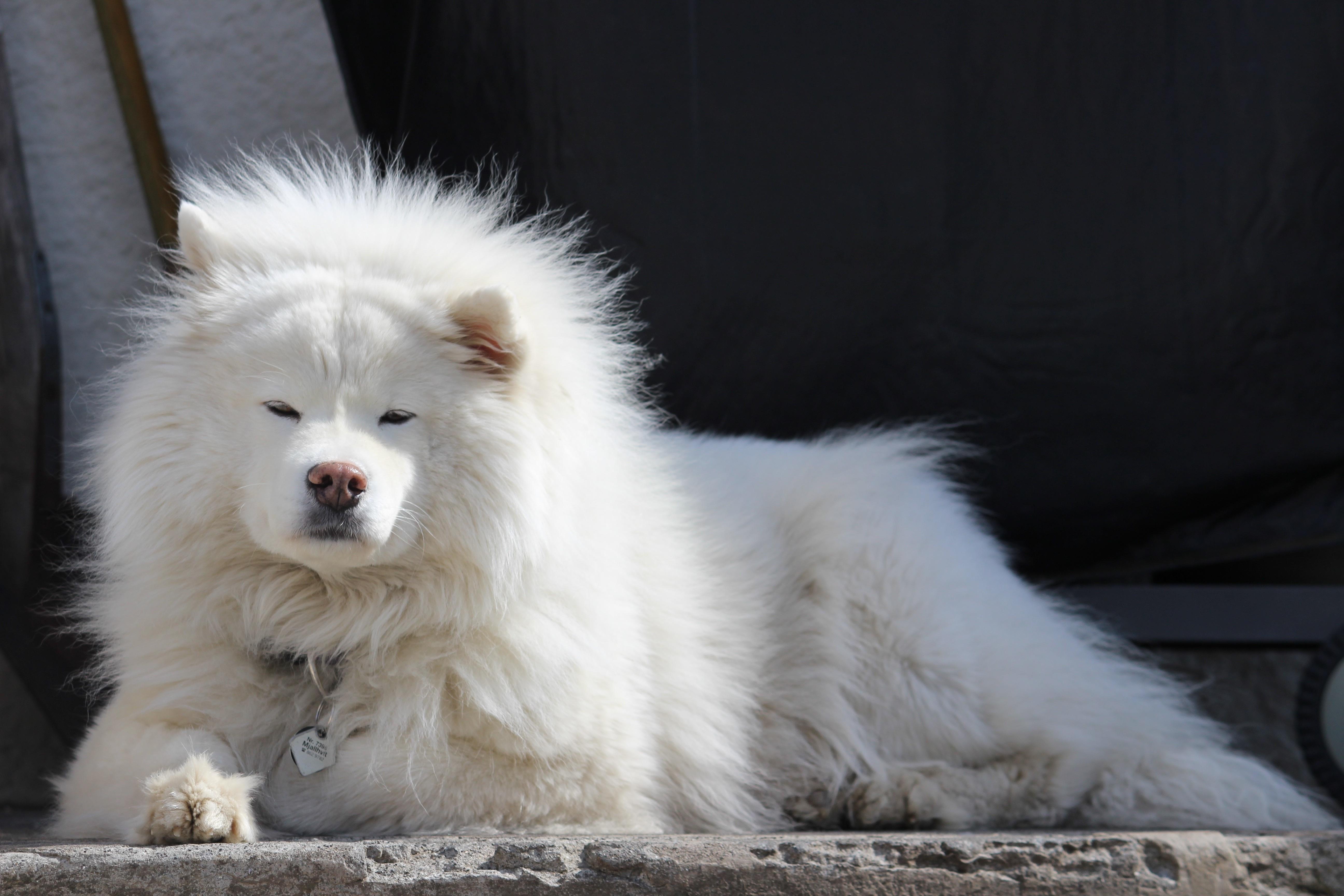 Wonderful Spitz Canine Adorable Dog - white-dog-animal-cute-canine-sunbathing-pet-mammal-iceland-relaxing-vertebrate-chill-domestic-large-dog-breed-doggy-samoyed-alaskan-malamute-dog-like-mammal-carnivoran-dog-breed-group-greenland-dog-german-spitz-mittel-japanese-spitz-american-eskimo-dog-german-spitz-german-spitz-klein-volpino-italiano-814012  Image_28985  .jpg