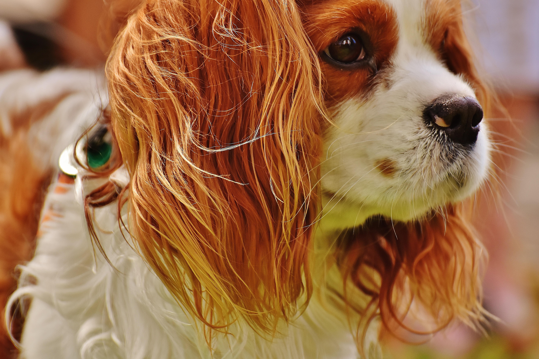 Cool King Charles Brown Adorable Dog - white-dog-animal-cute-pet-fur-brown-mammal-spaniel-close-up-nose-eye-vertebrate-funny-cavalier-king-charles-spaniel-king-charles-spaniel-dog-like-mammal-541201  Gallery_782865  .jpg