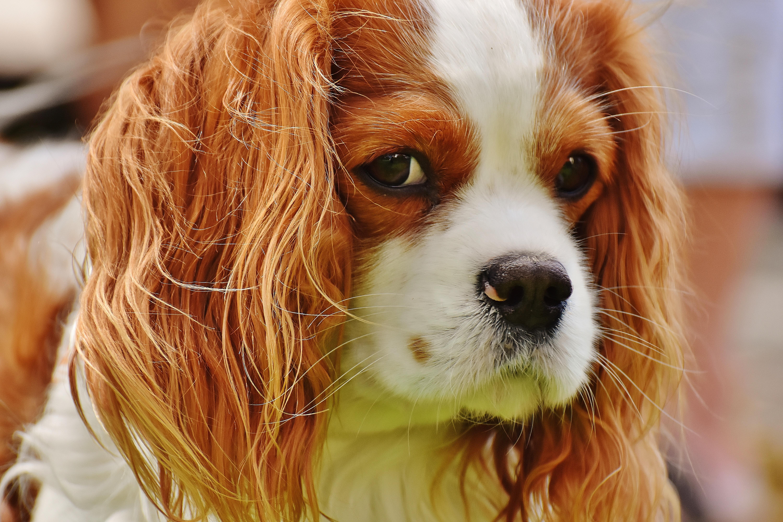 Cool Charles Spaniel Brown Adorable Dog - white-dog-animal-cute-pet-fur-brown-mammal-spaniel-close-up-nose-vertebrate-funny-dog-breed-cavalier-king-charles-spaniel-king-charles-spaniel-dog-like-mammal-kooikerhondje-phalene-539746  You Should Have_184816  .jpg