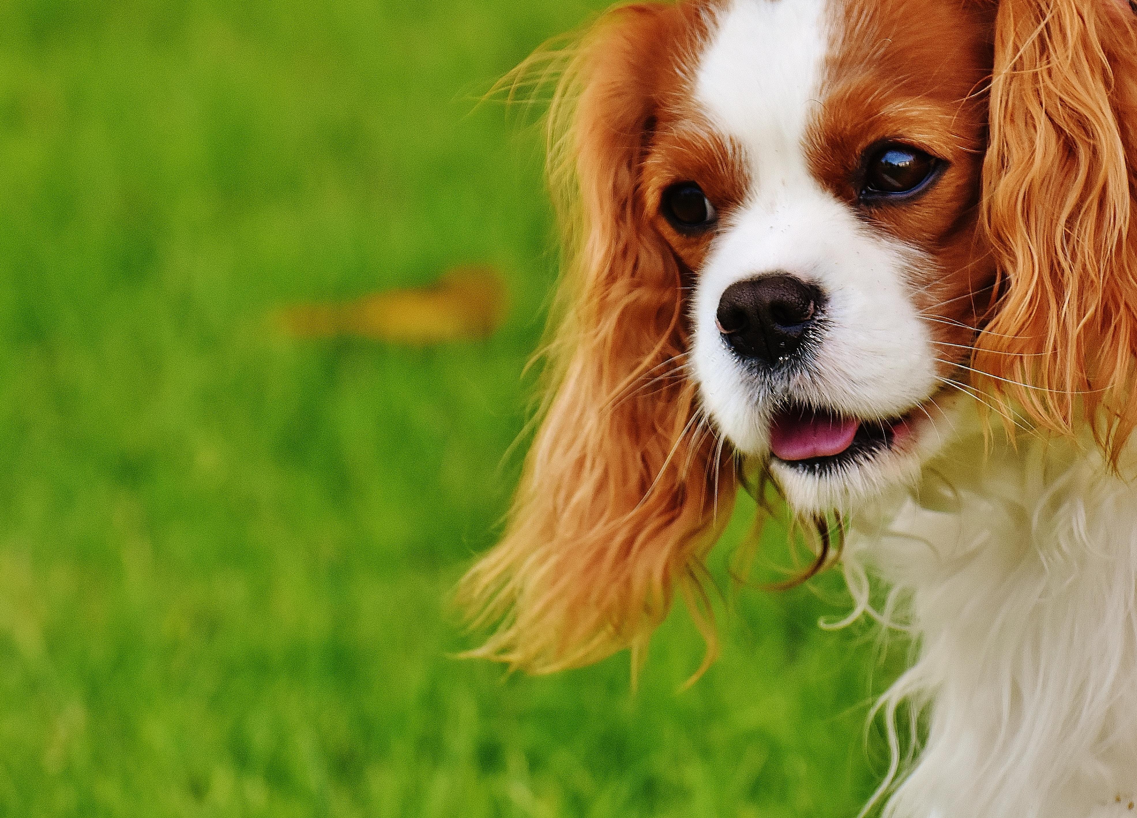 Download Charles Spaniel Brown Adorable Dog - white-dog-animal-cute-pet-fur-brown-mammal-spaniel-vertebrate-funny-dog-breed-cavalier-king-charles-spaniel-king-charles-spaniel-dog-like-mammal-kooikerhondje-cavachon-phalene-539739  Best Photo Reference_431462  .jpg