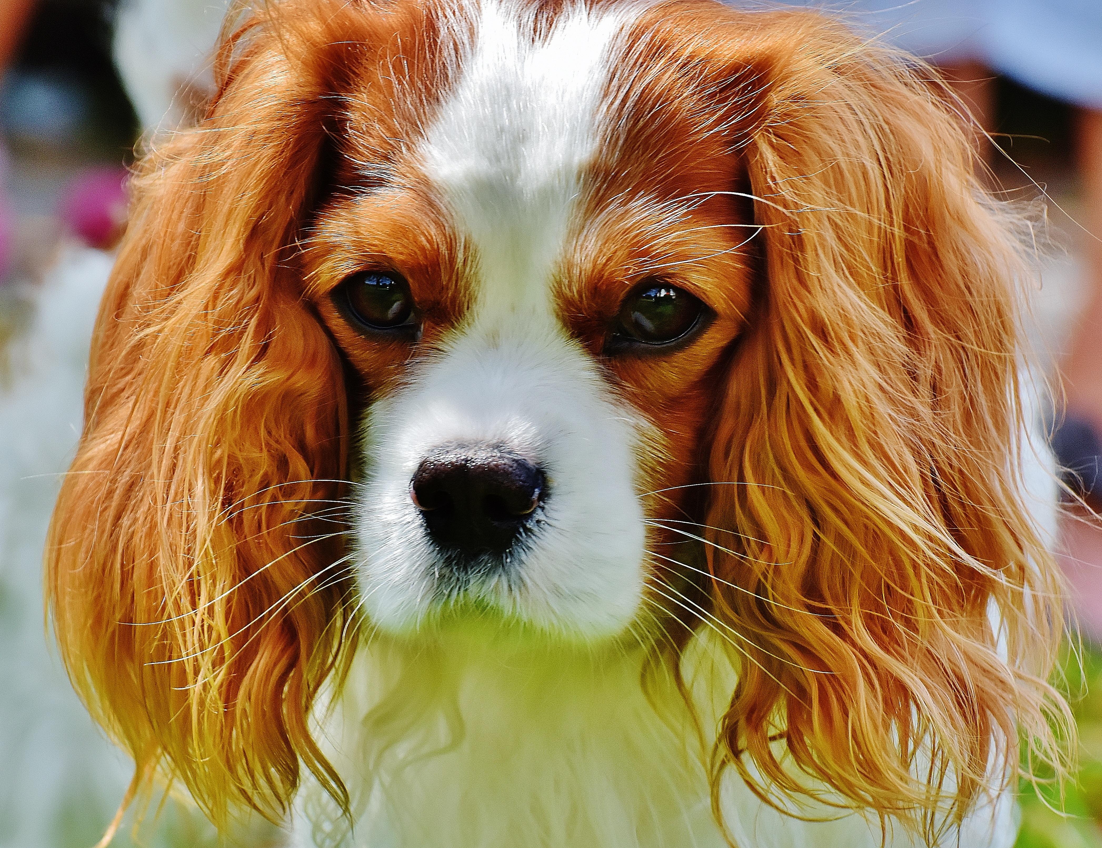 Must see Charles Spaniel Brown Adorable Dog - white-dog-animal-cute-pet-fur-brown-mammal-spaniel-vertebrate-funny-dog-breed-cavalier-king-charles-spaniel-king-charles-spaniel-dog-like-mammal-kooikerhondje-phalene-1036060  Perfect Image Reference_756436  .jpg