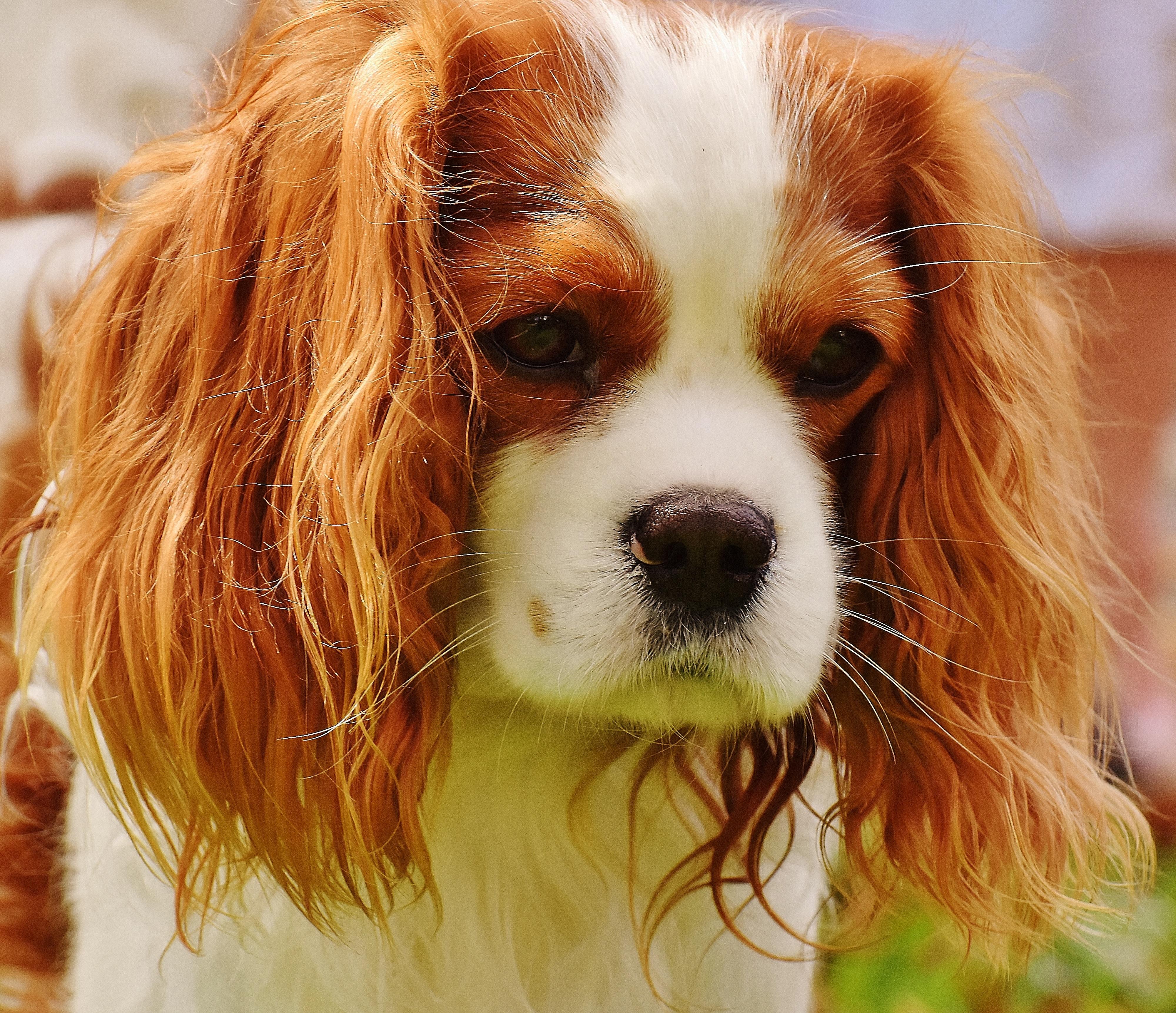 Most Inspiring Charles Spaniel Brown Adorable Dog - white-dog-animal-cute-pet-fur-brown-mammal-spaniel-vertebrate-funny-dog-breed-cavalier-king-charles-spaniel-king-charles-spaniel-dog-like-mammal-kooikerhondje-welsh-springer-spaniel-phalene-539748  Collection_11438  .jpg