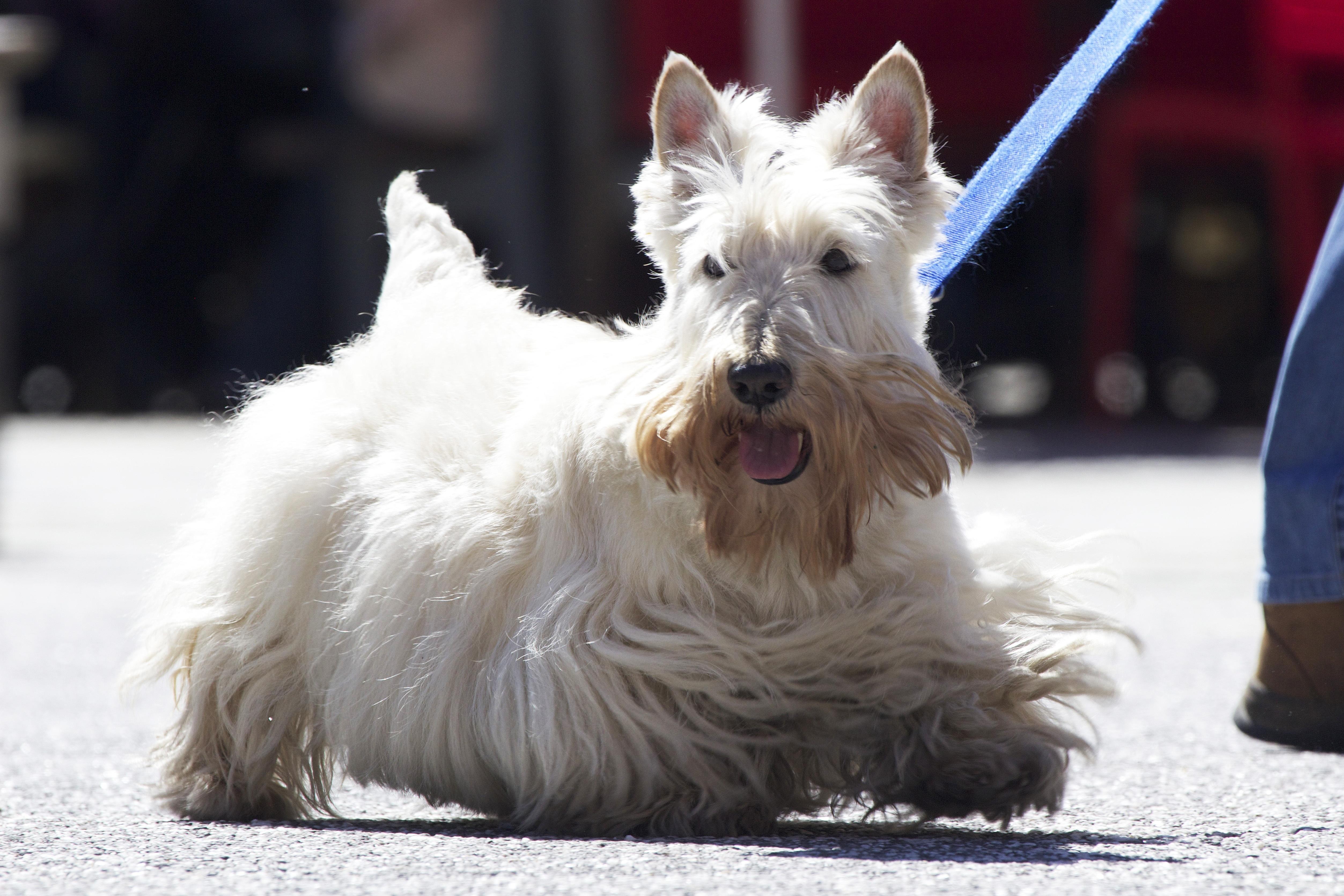 Kostenlose foto : Weiß, Haustier, Wirbeltier, schottisch, Hunderasse ...