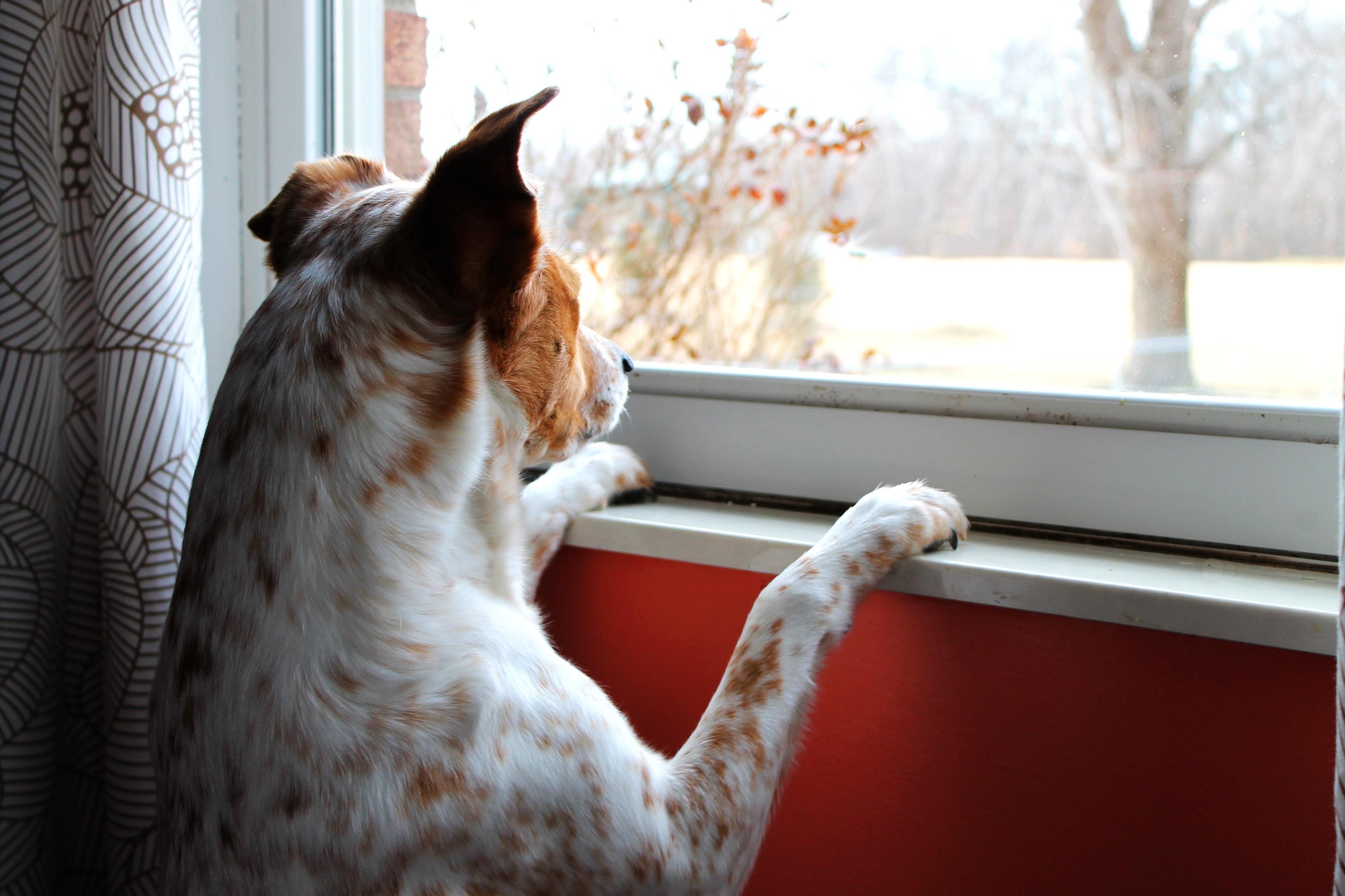 Gratis Afbeeldingen : wit, hond, aan het wachten, neus ...