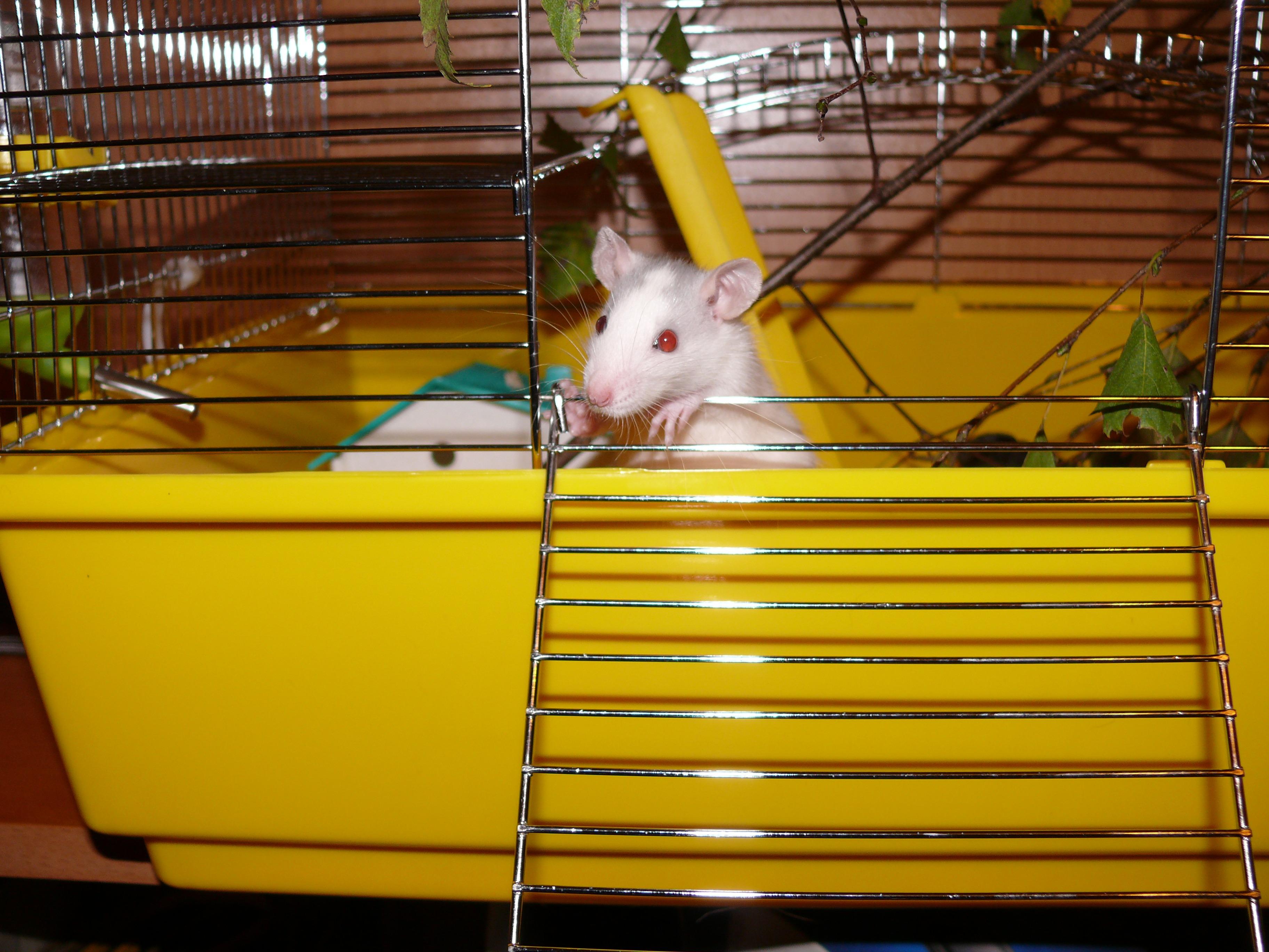 Декоративные крысы, описание, разновидности, уход, содержание 10