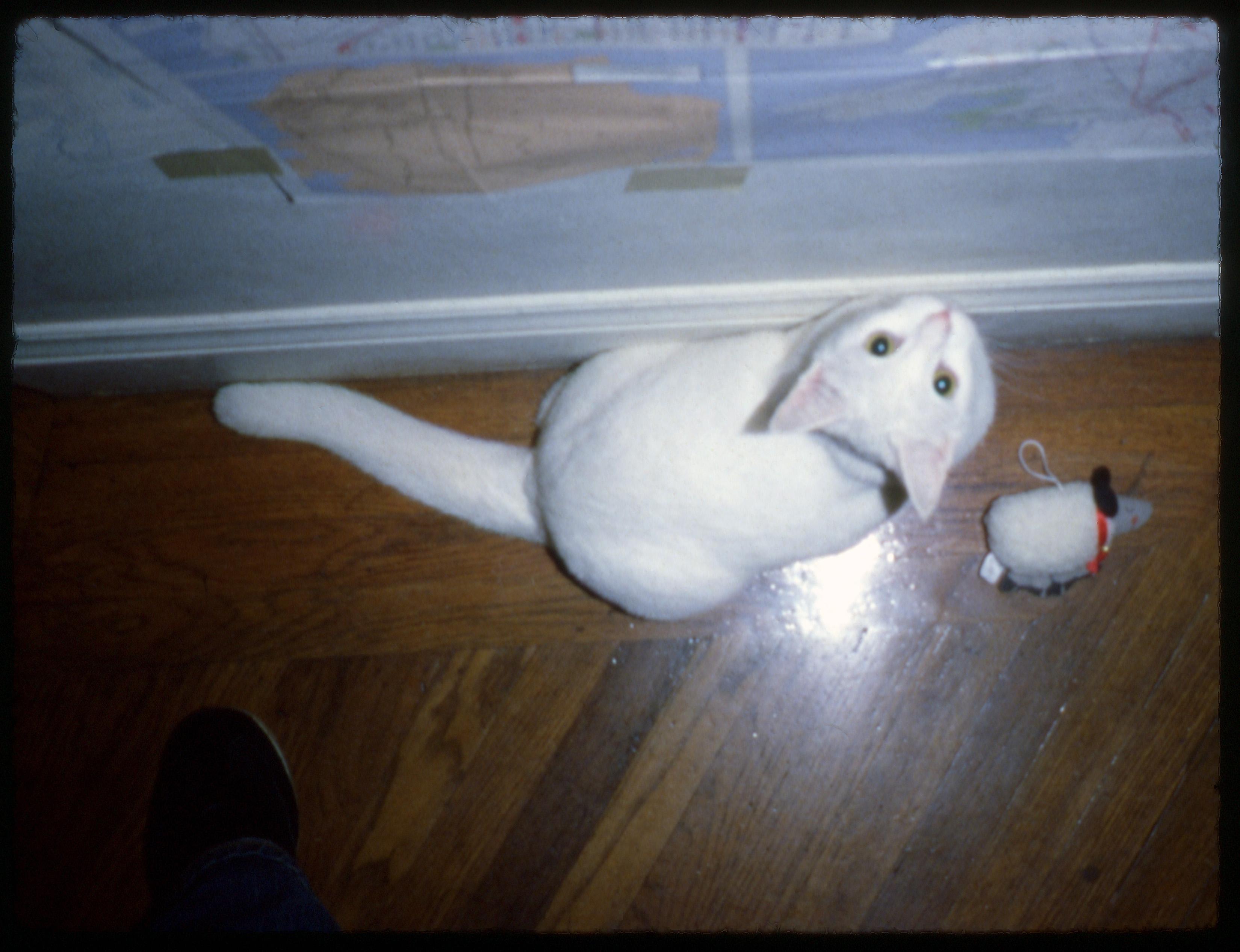 картинки фильм Кот Игривый вспышка Сан Франциско  белый фильм Кот Игривый вспышка Сан Франциско Сканирование белый кот контрольная работа Водяная птица Американская