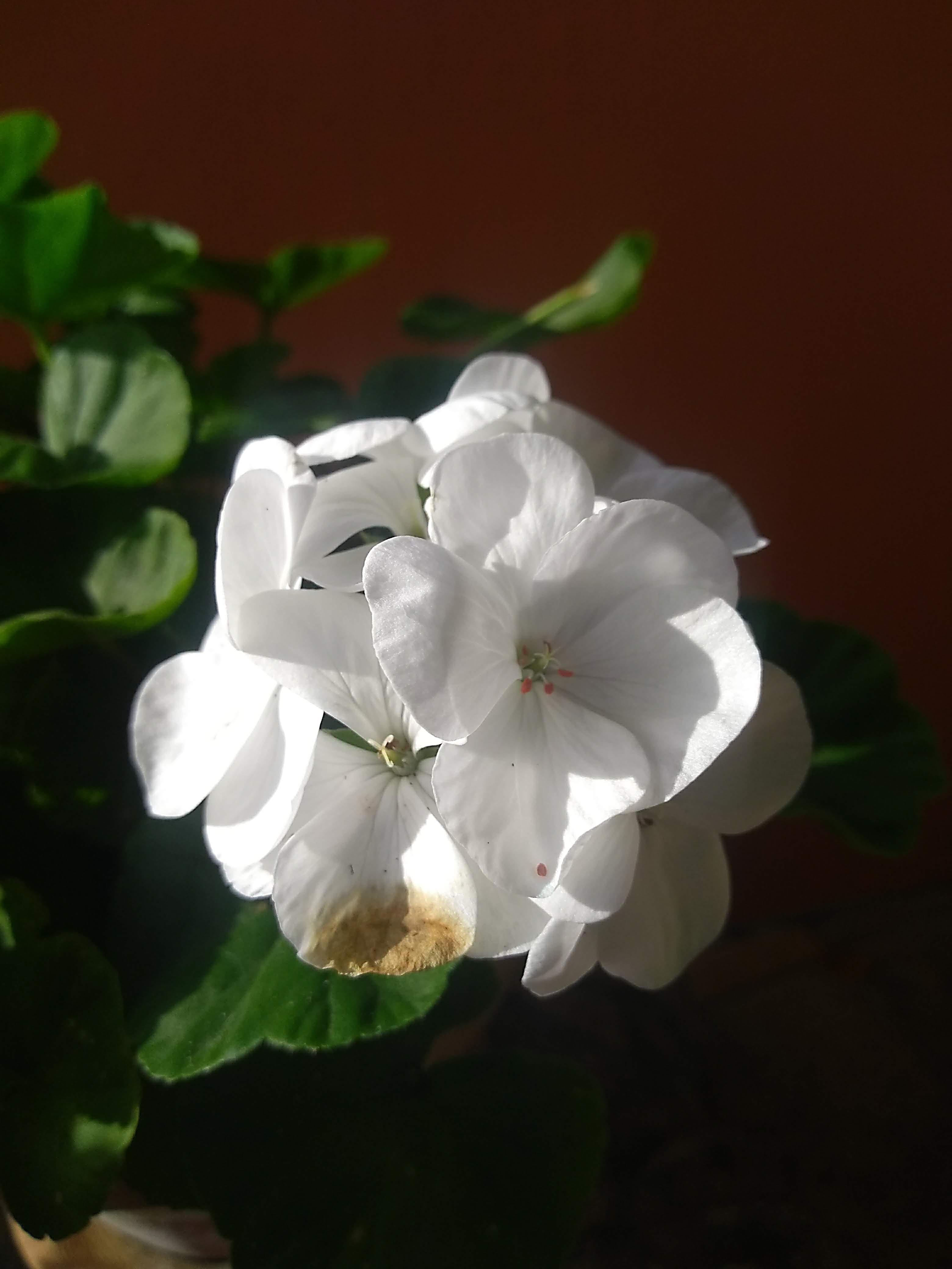 Fiori Bianchi Con Quattro Petali.Immagini Belle Fiori Bianchi Fiore Bianca Flora Petalo