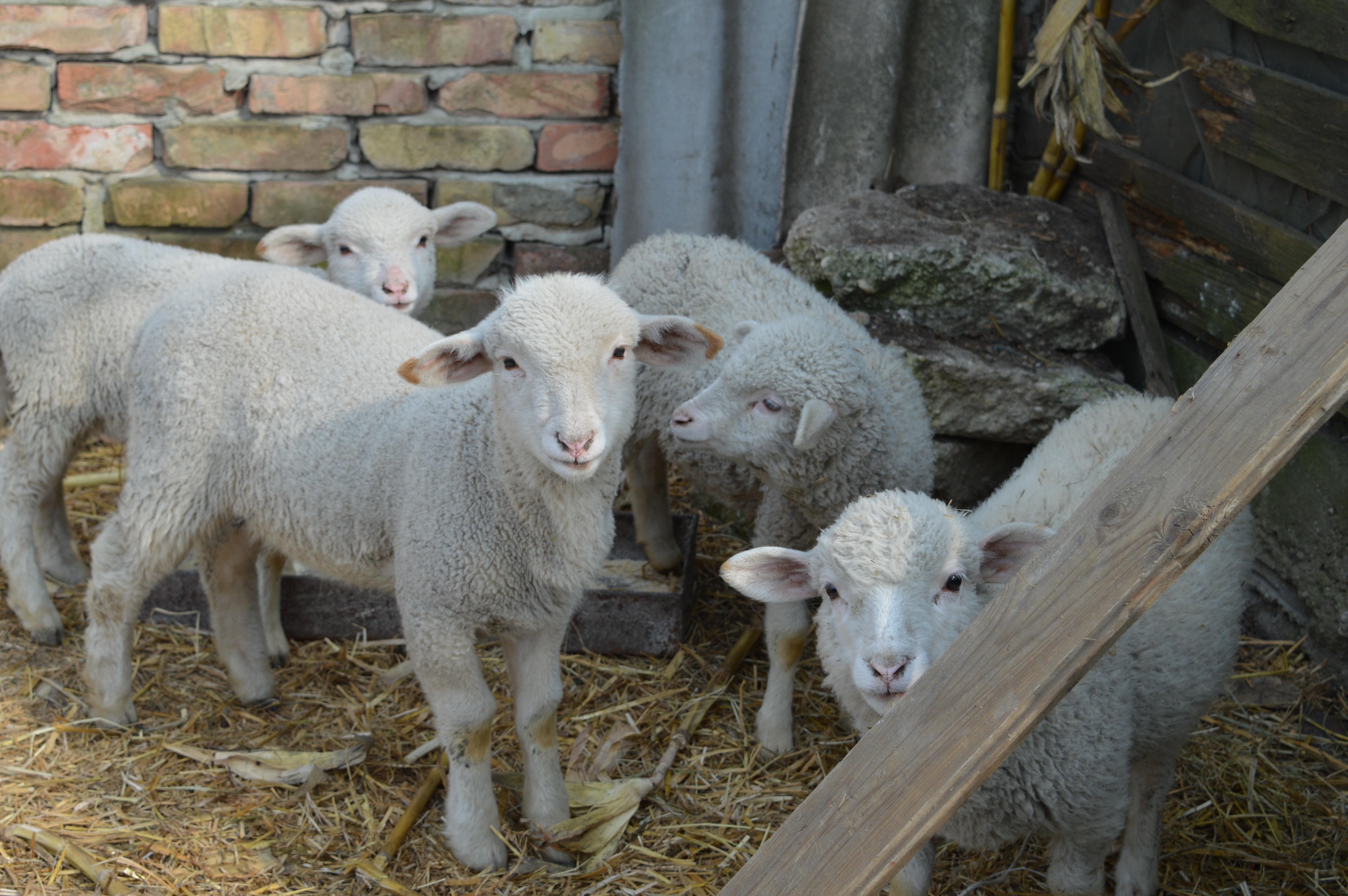 Images gratuites blanc printemps troupeau p turage - Photos de moutons gratuites ...