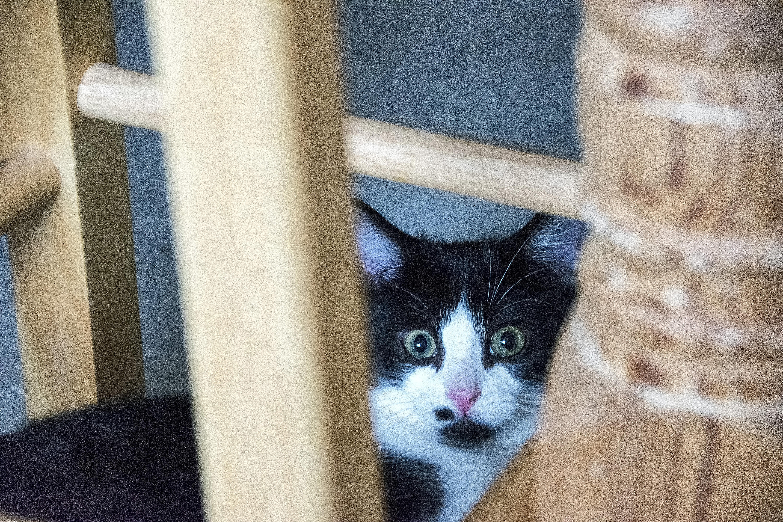 Fotos gratis : blanco, gatito, gato, color, azul, bigotes, Canadá ...