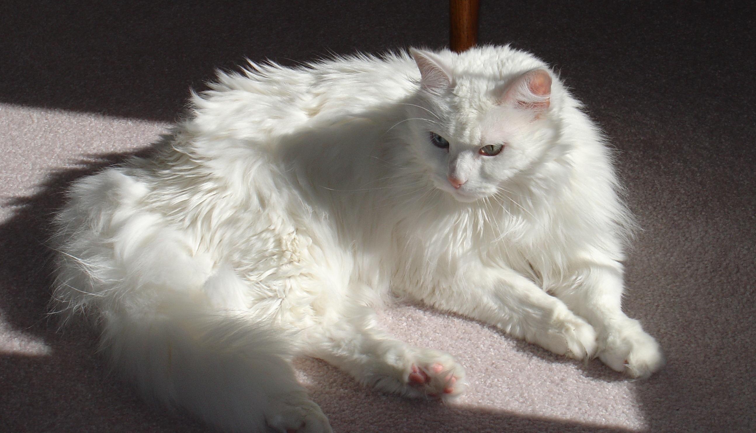 b4f689b92e white kitten cat mammal whiskers the vertebrate ragdoll reggi norwegian  forest cat turkish van small to