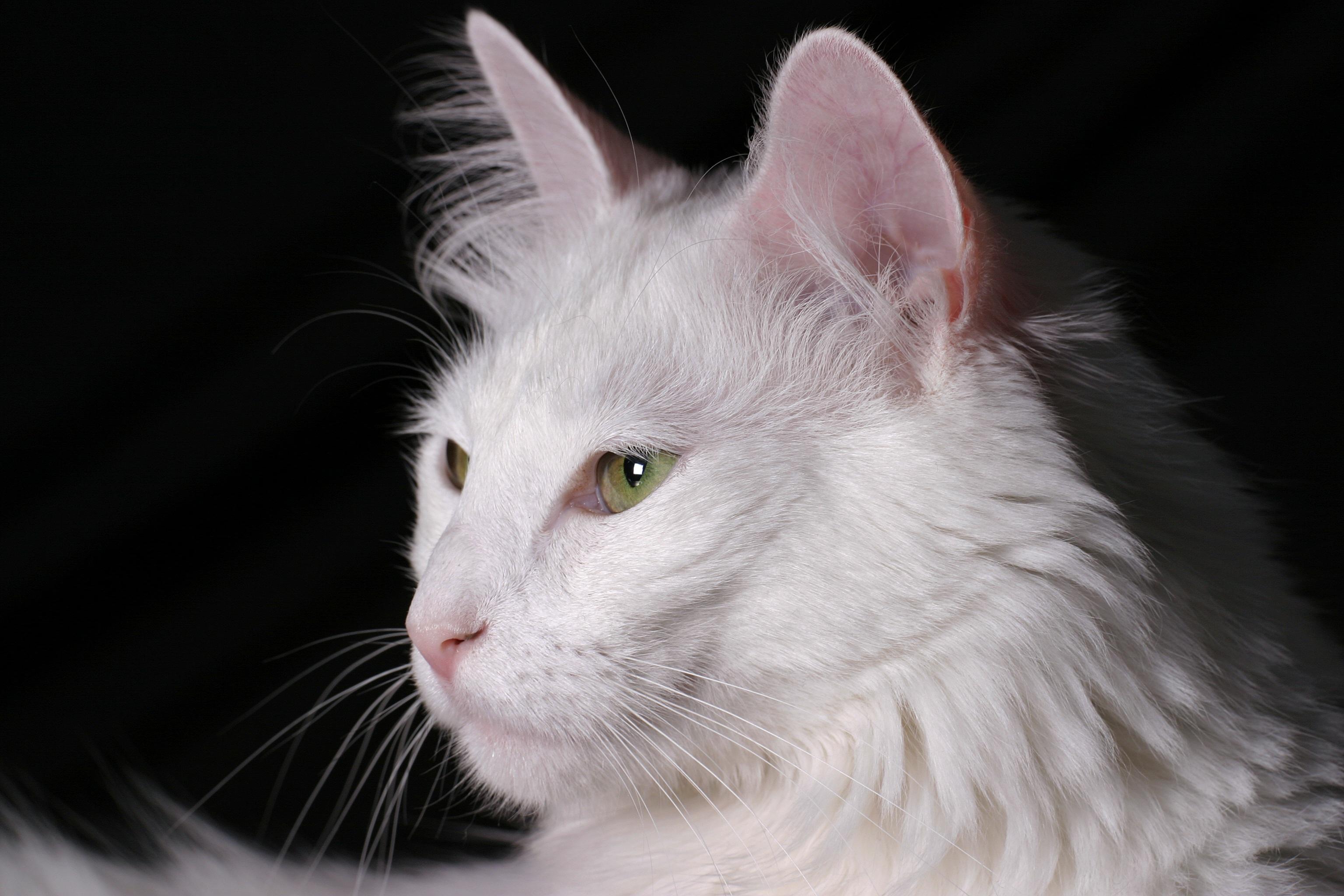 gatinho angora original