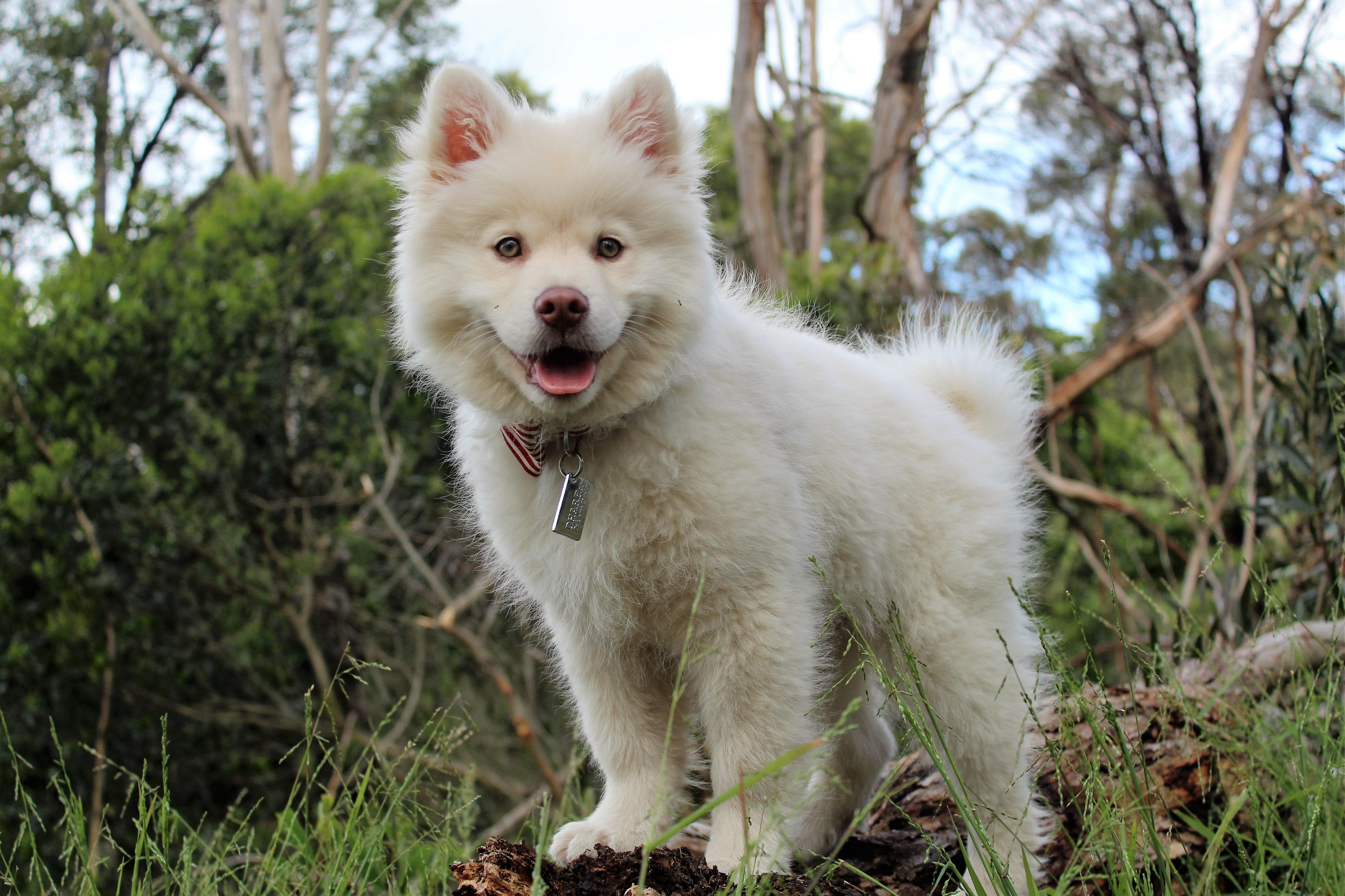Fantastic Icelandic Sheepdog Canine Adorable Dog - white-play-puppy-dog-animal-cute-canine-summer-love-pet-portrait-young-mammal-friendship-smile-friend-nose-fun-happy-happiness-relationship-ears-head-little-vertebrate-dog-breed-friendly-breed-pomeranian-samoyed-happy-dog-akita-inu-dog-like-mammal-carnivoran-dog-breed-group-greenland-dog-east-siberian-laika-west-siberian-laika-icelandic-sheepdog-german-spitz-mittel-japanese-spitz-american-eskimo-dog-german-spitz-german-spitz-klein-volpino-italiano-kishu-norwegian-buhund-1173206  Photograph_508075  .jpg